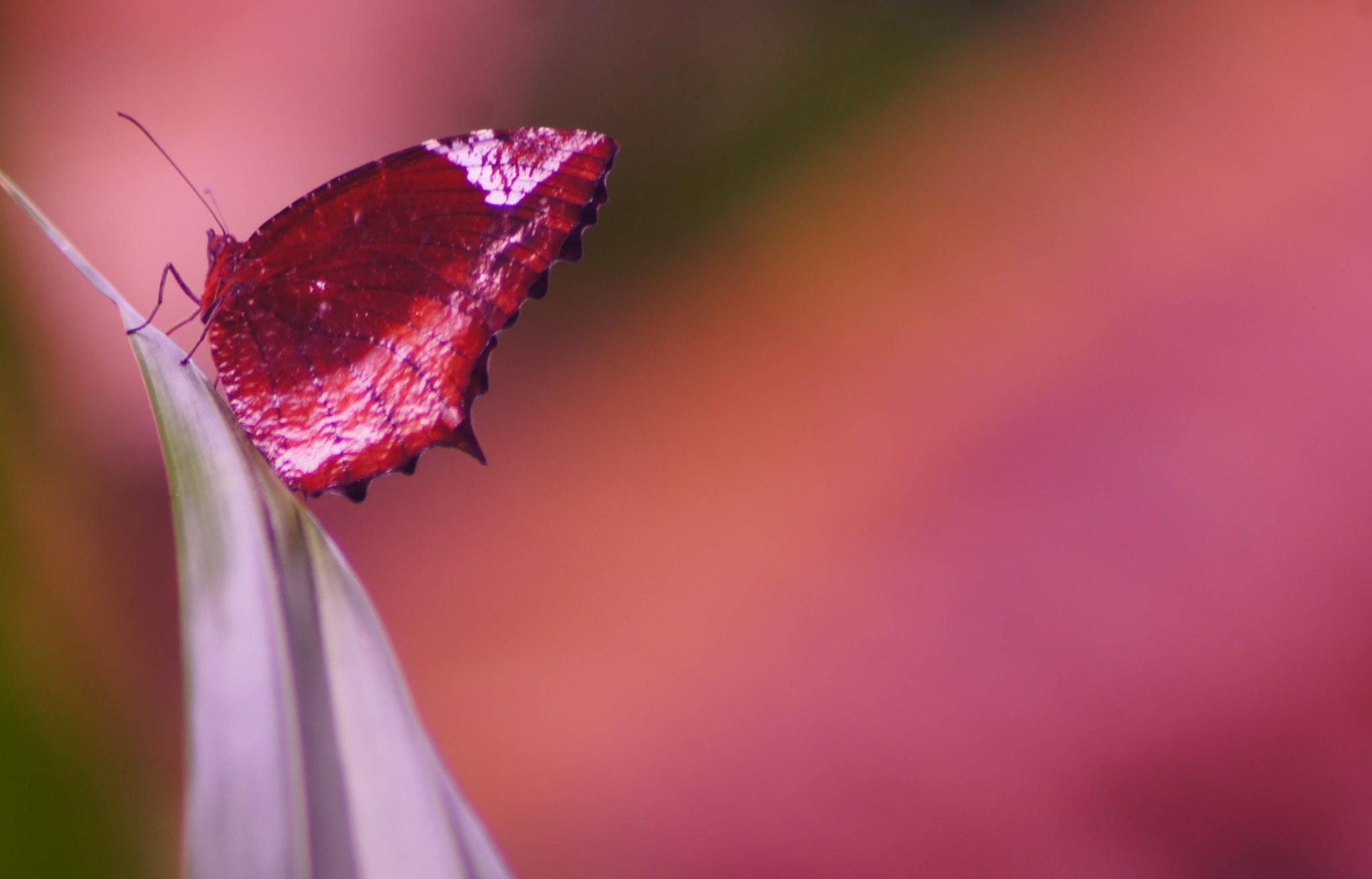 Butterfly by MANOJ AP