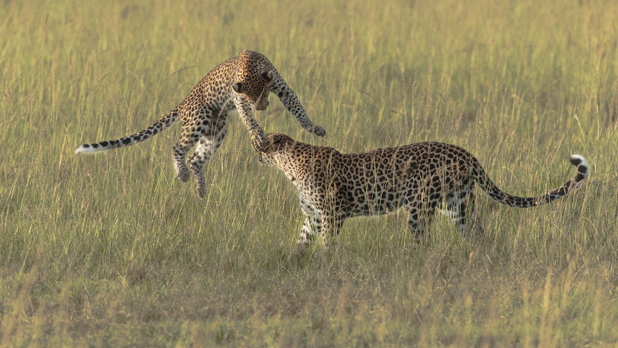 Leopard cub with mom. by Hussain Nalwala