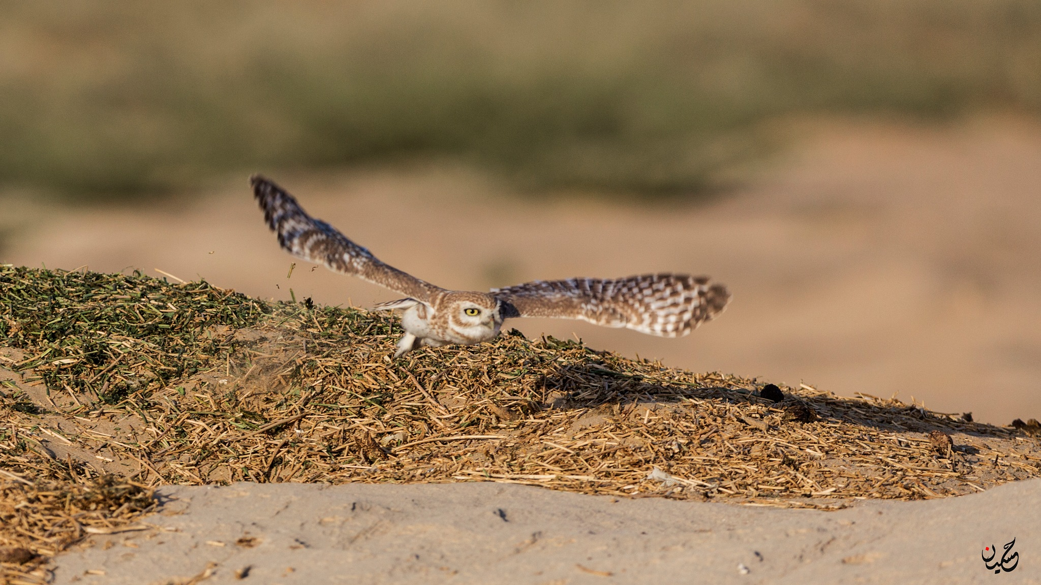 Owl in flight by Hussain Nalwala