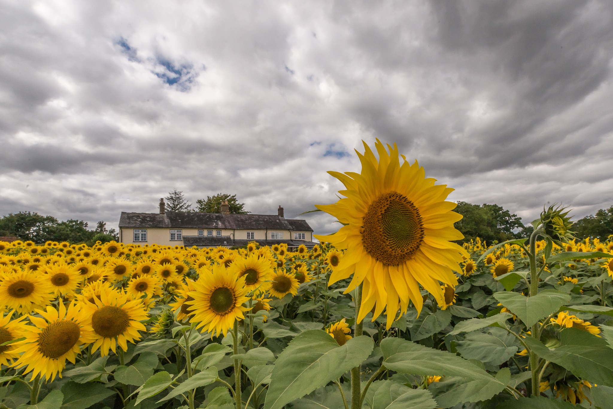 Sunflowers by Eddie Starck