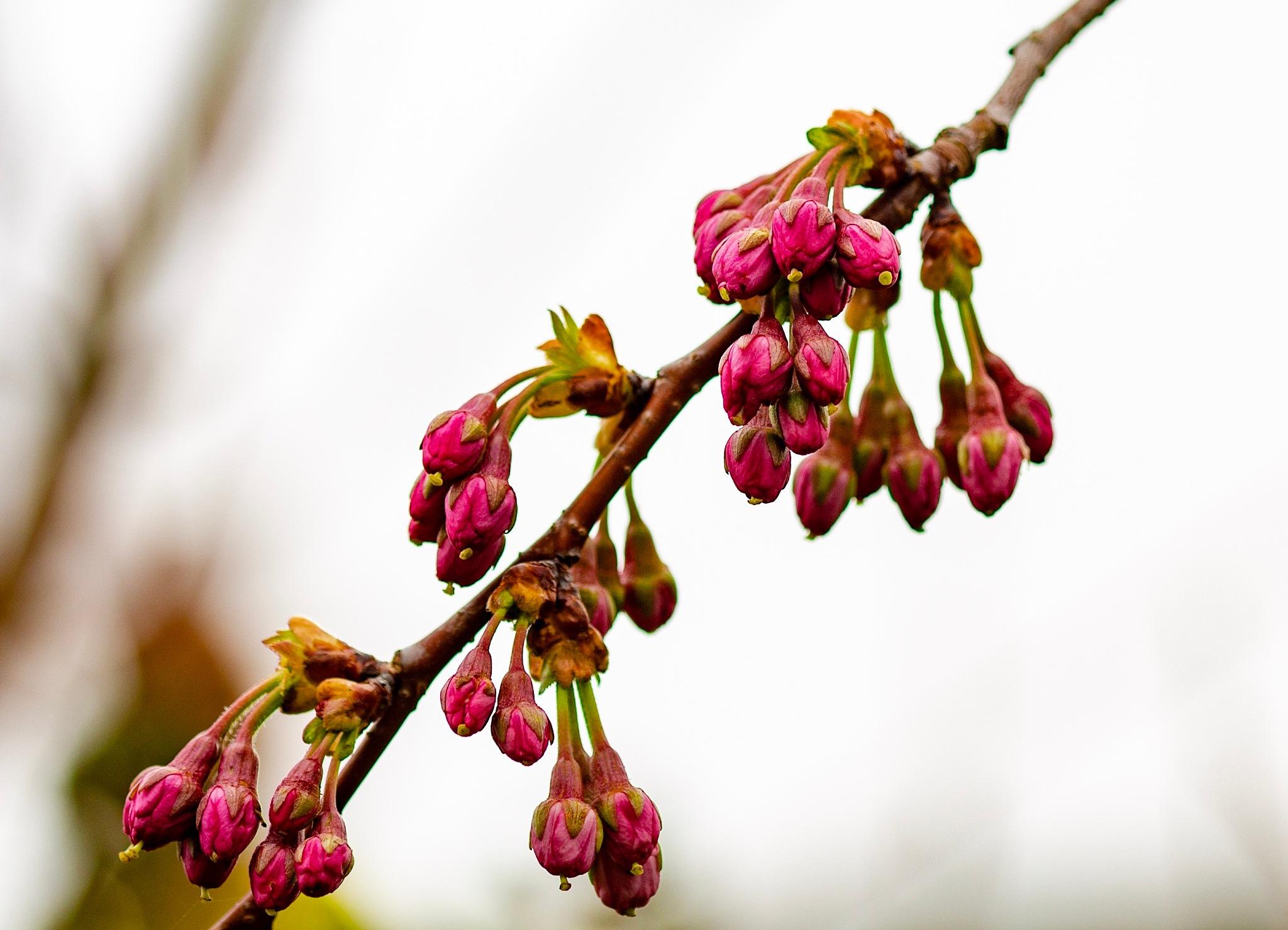 Cherry blossom buds by Richard Slack