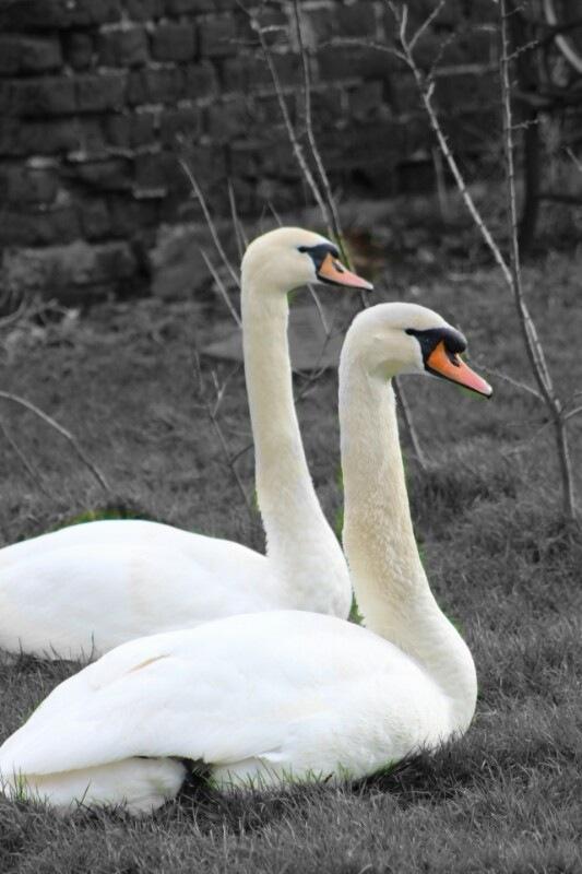 black and white swans by Chris Algar