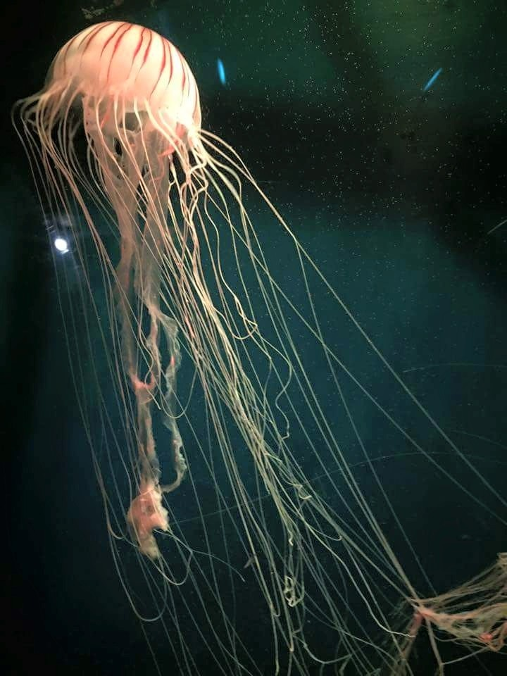 JELLY FISH by Chris Algar