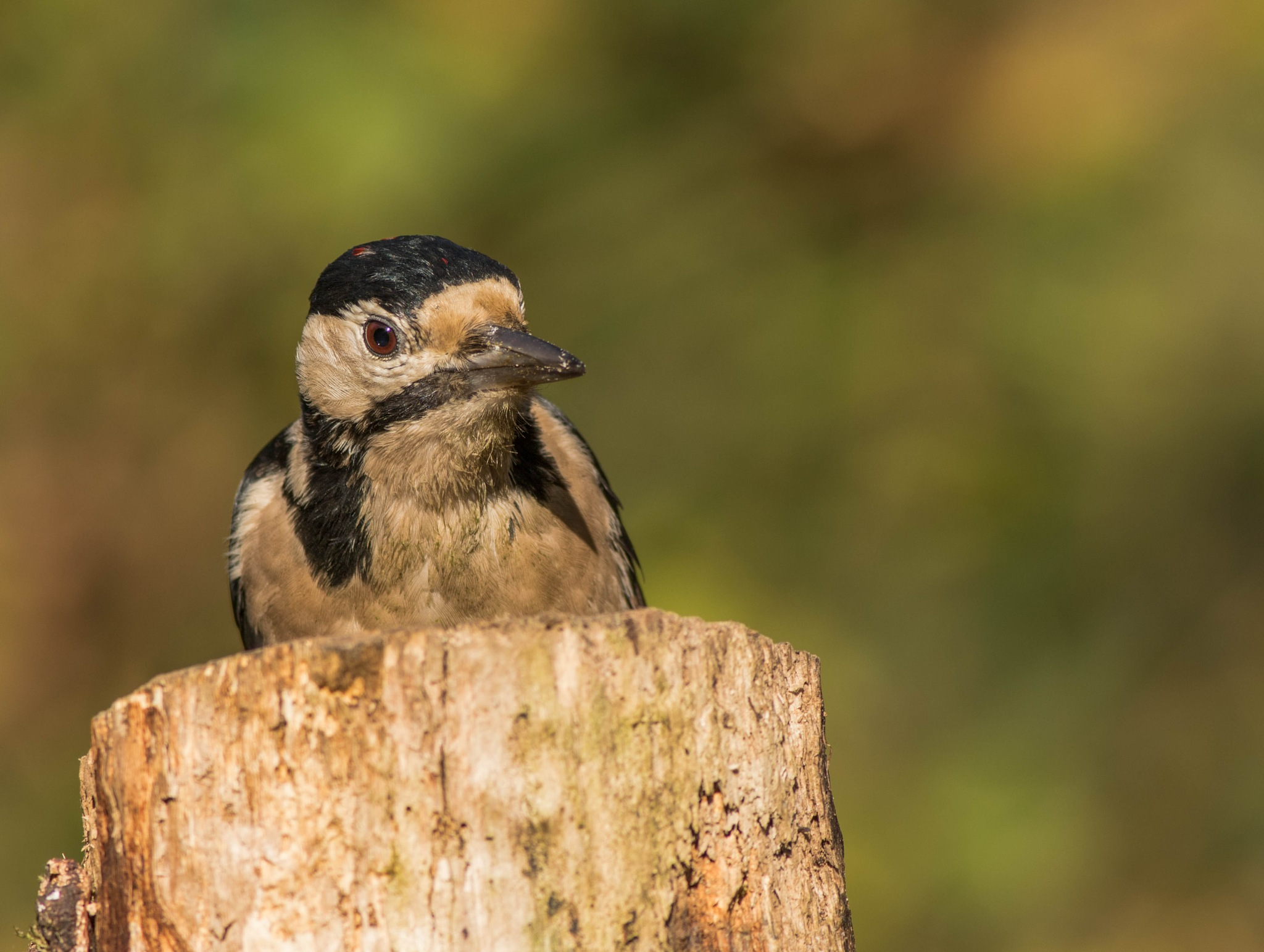 Great spotted woodpecker by JackiesJaunts