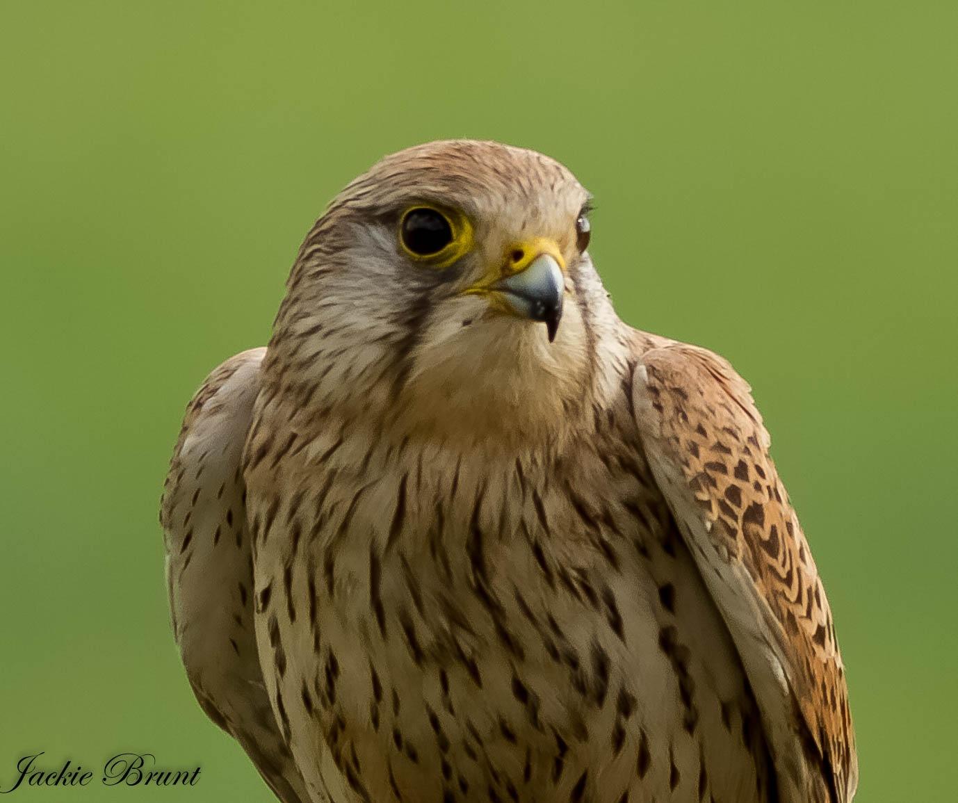 Wild bird - Kestrel by JackiesJaunts