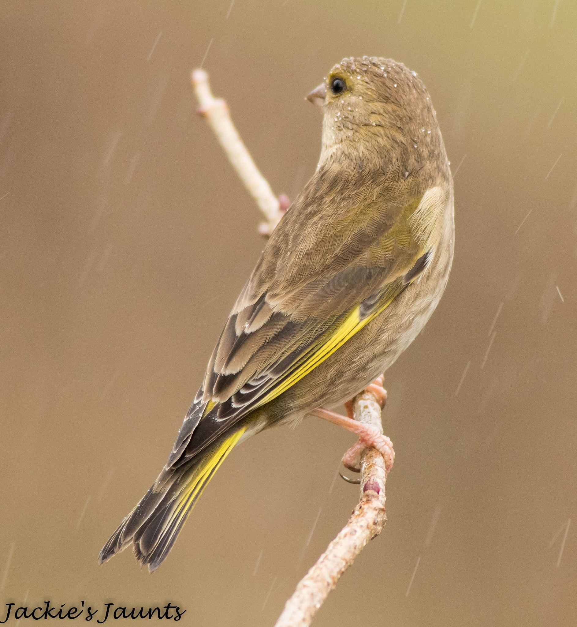 Greenfinch by JackiesJaunts