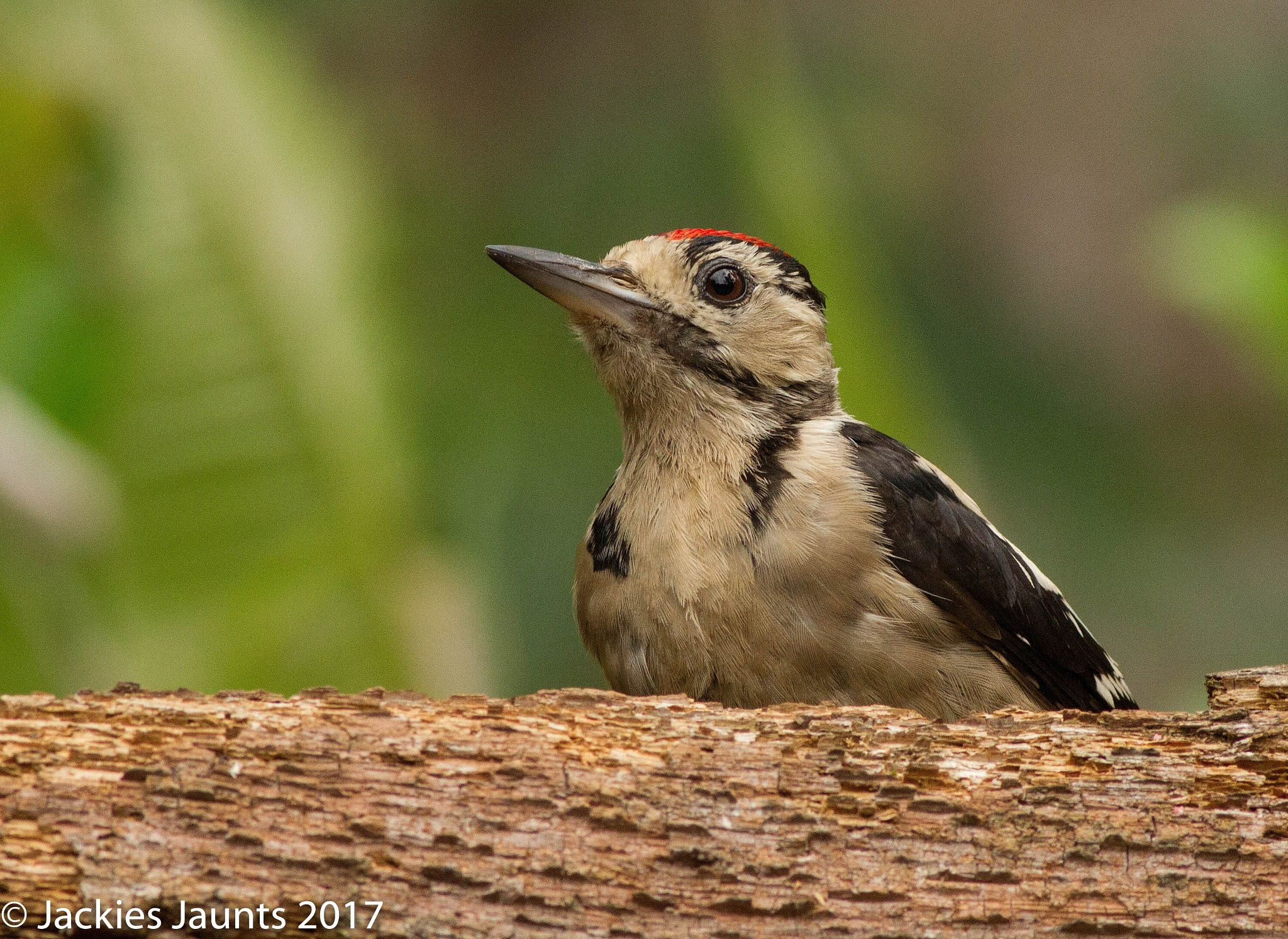 Great Spotted Woodpecker by JackiesJaunts