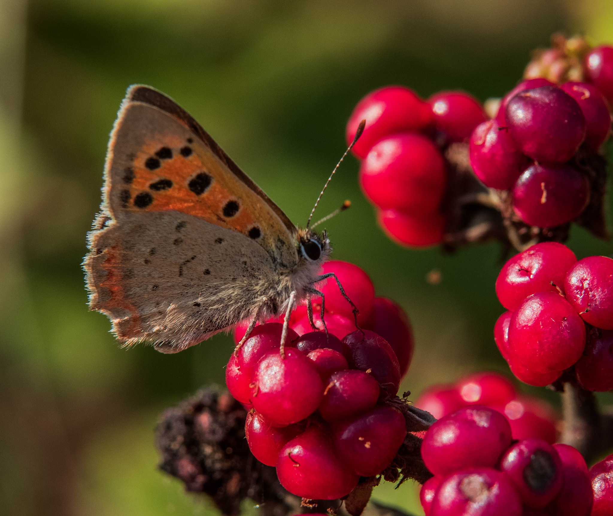 Small Copper by JackiesJaunts