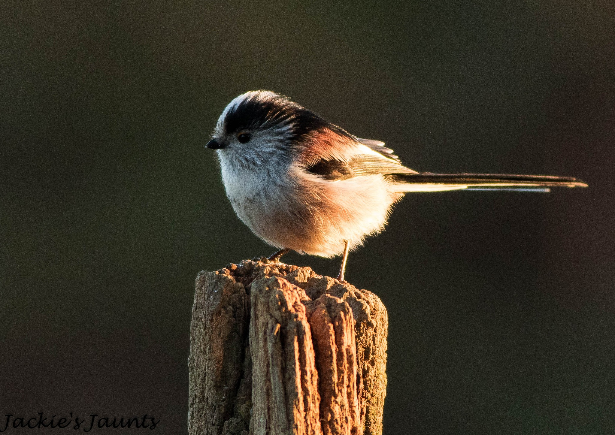 Long Tailed Tit by JackiesJaunts