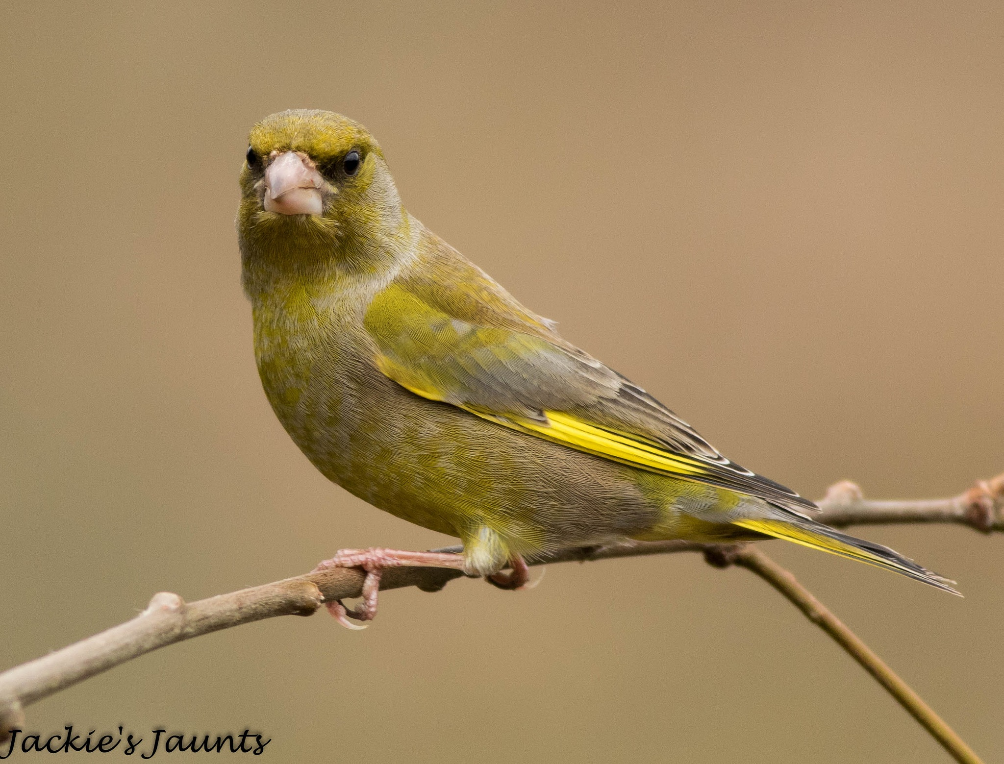 Male Greenfinch by JackiesJaunts