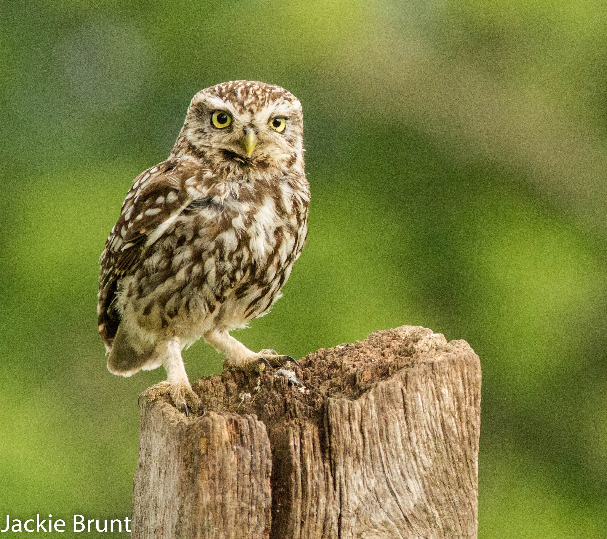 Little Owl by JackiesJaunts