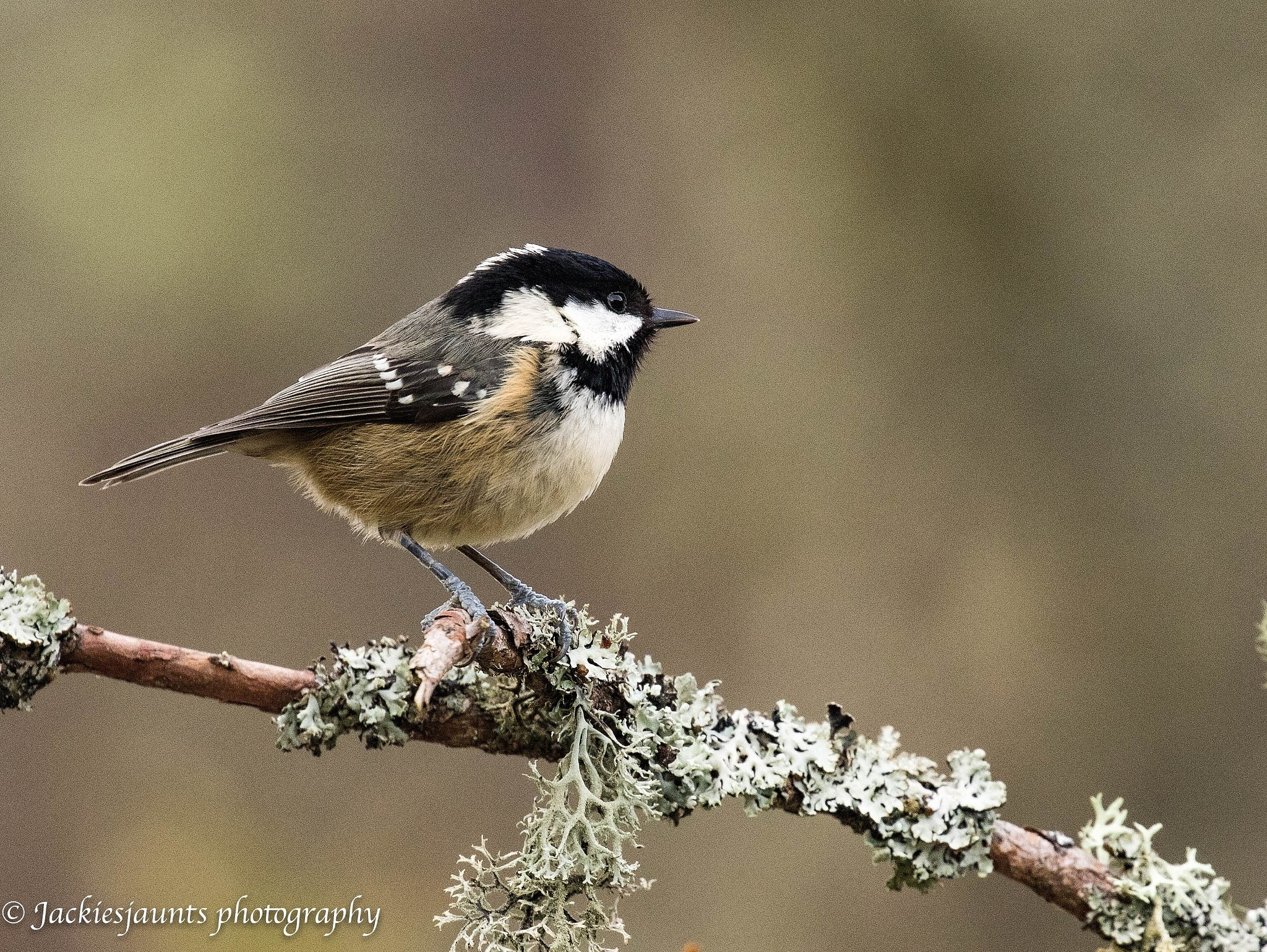 Coal Tit Cairngorms  by JackiesJaunts