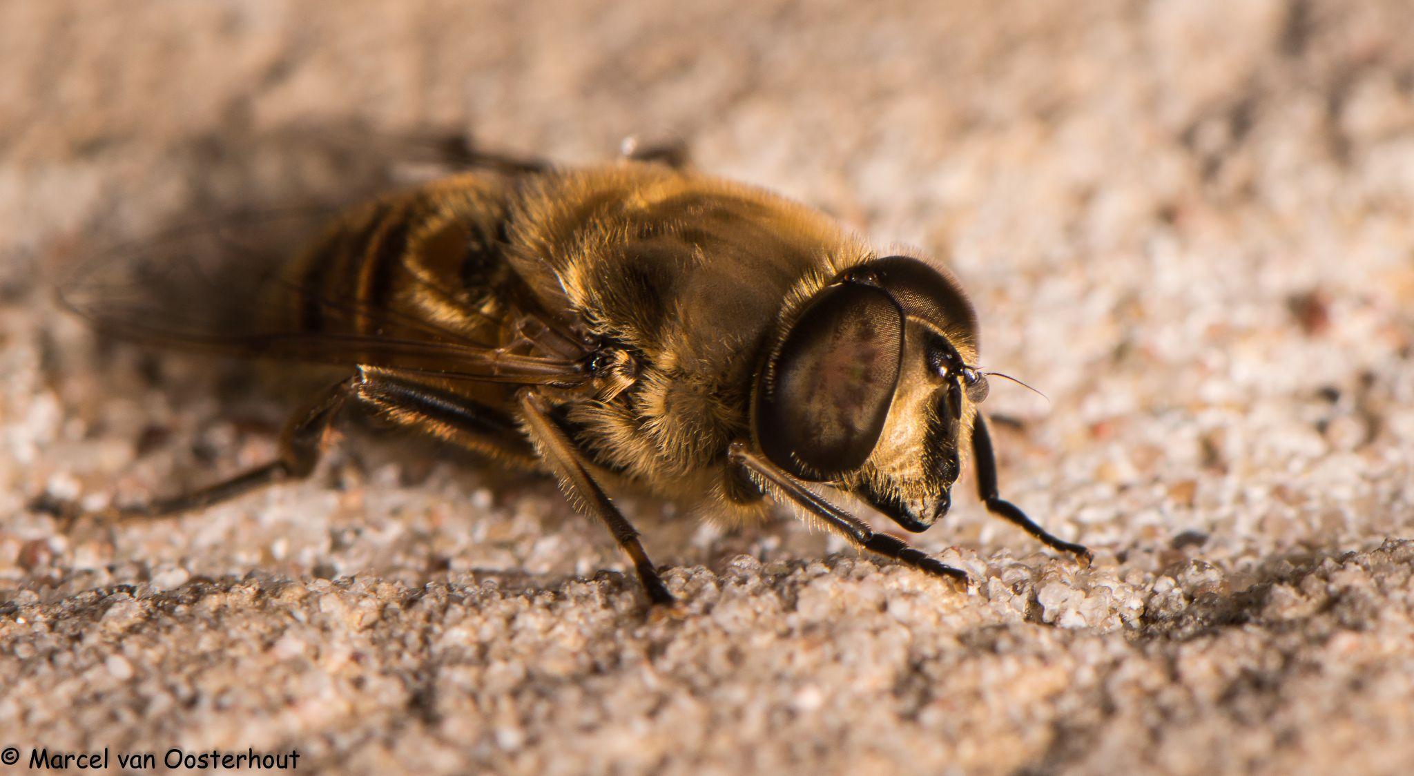 hoverfly by Marcel van Oosterhout