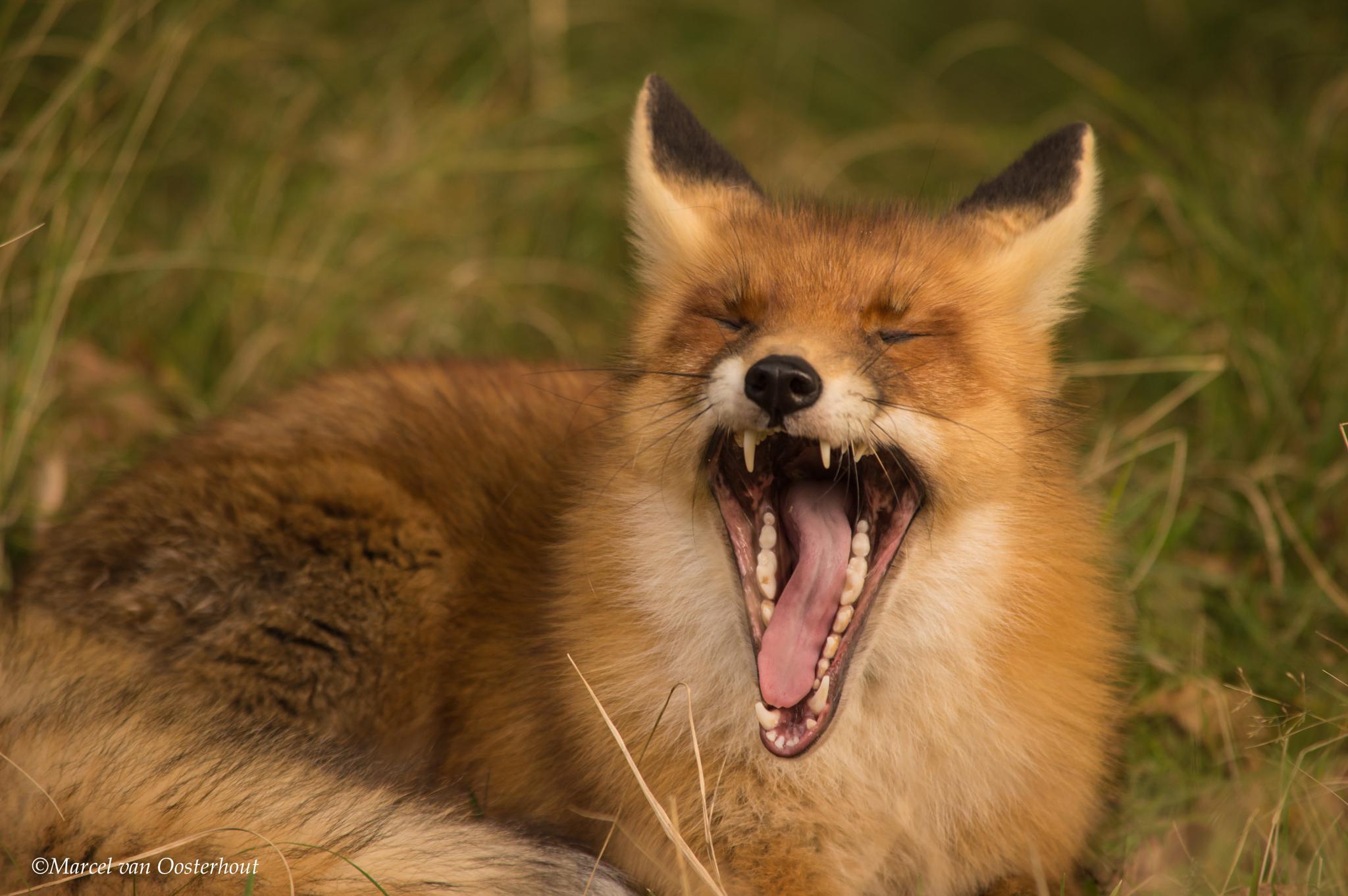 Fox by Marcel van Oosterhout