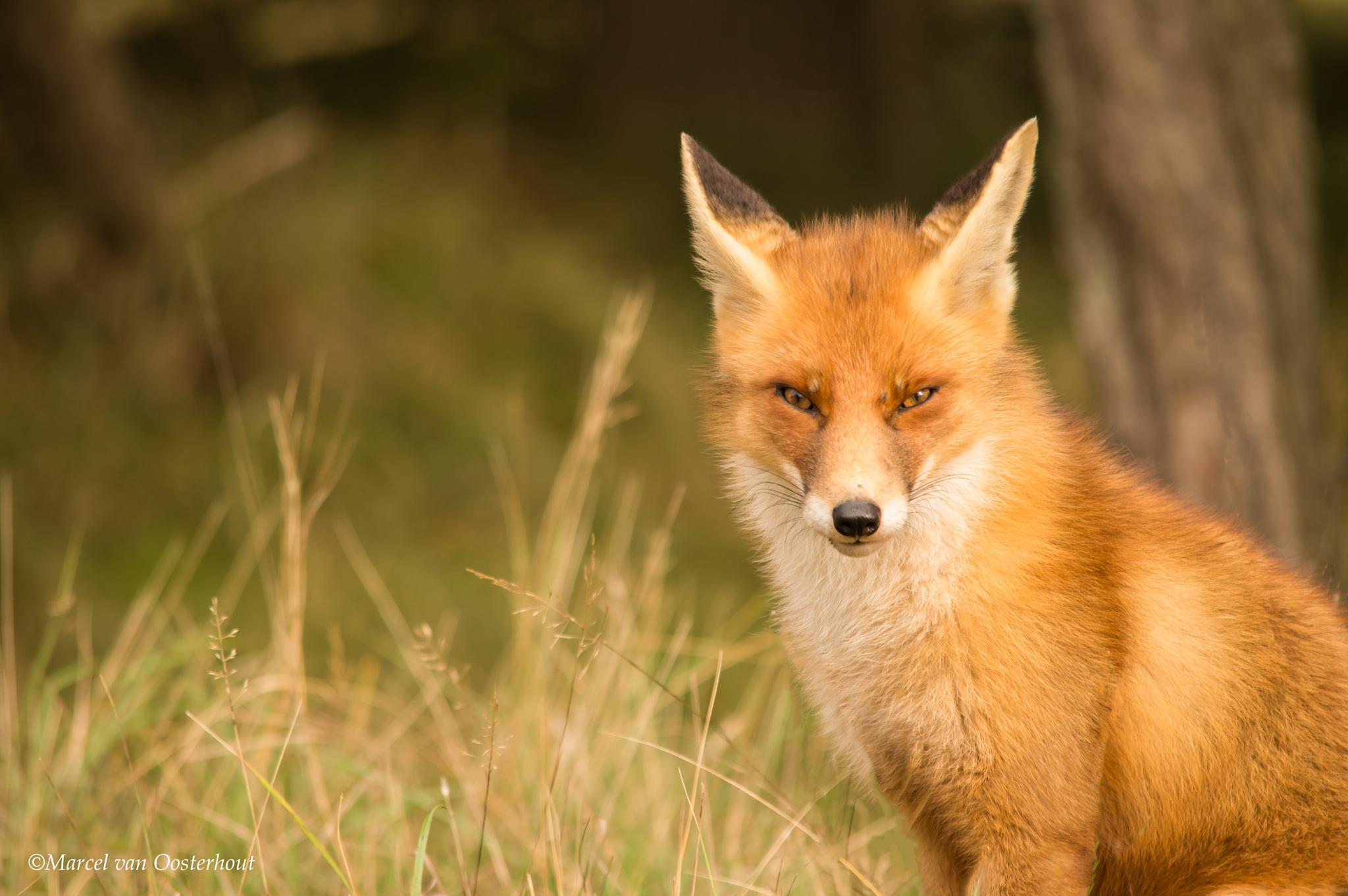 Photo in Animal #fox #foxes #animal #wild #fauna #holland #netherlands #dunes