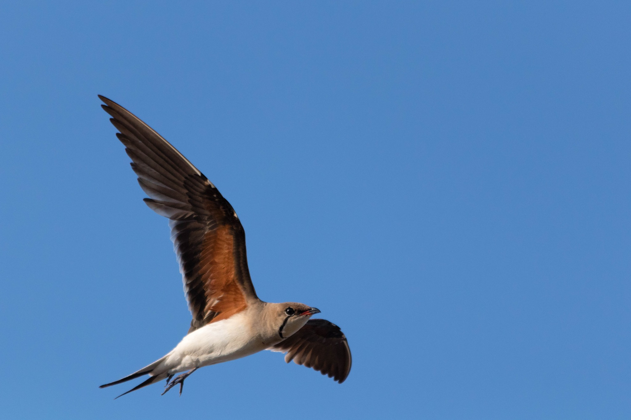 Collared Pratincole in flight by Andrea Prestileo