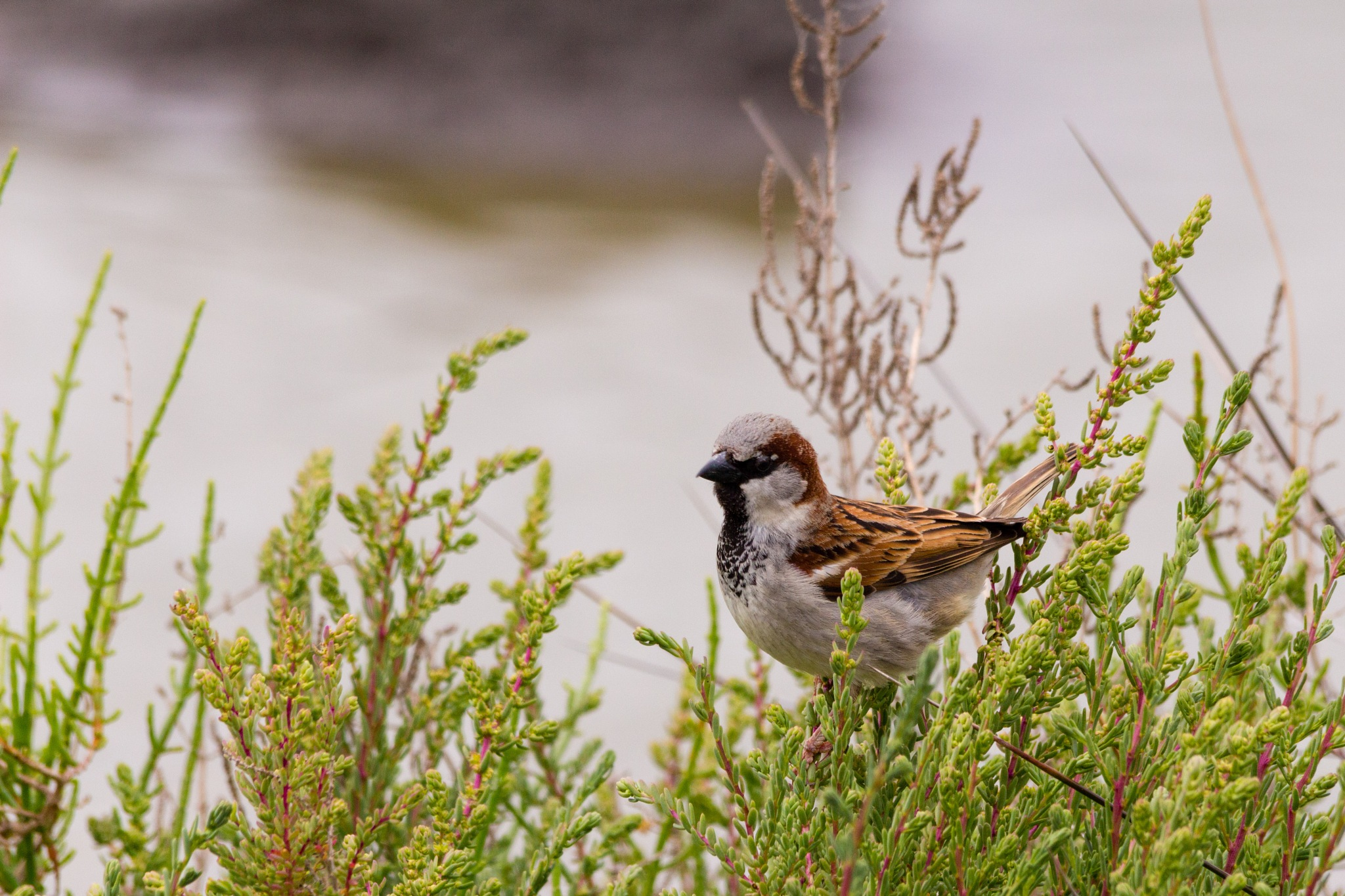 House sparrow in a bush by Andrea Prestileo