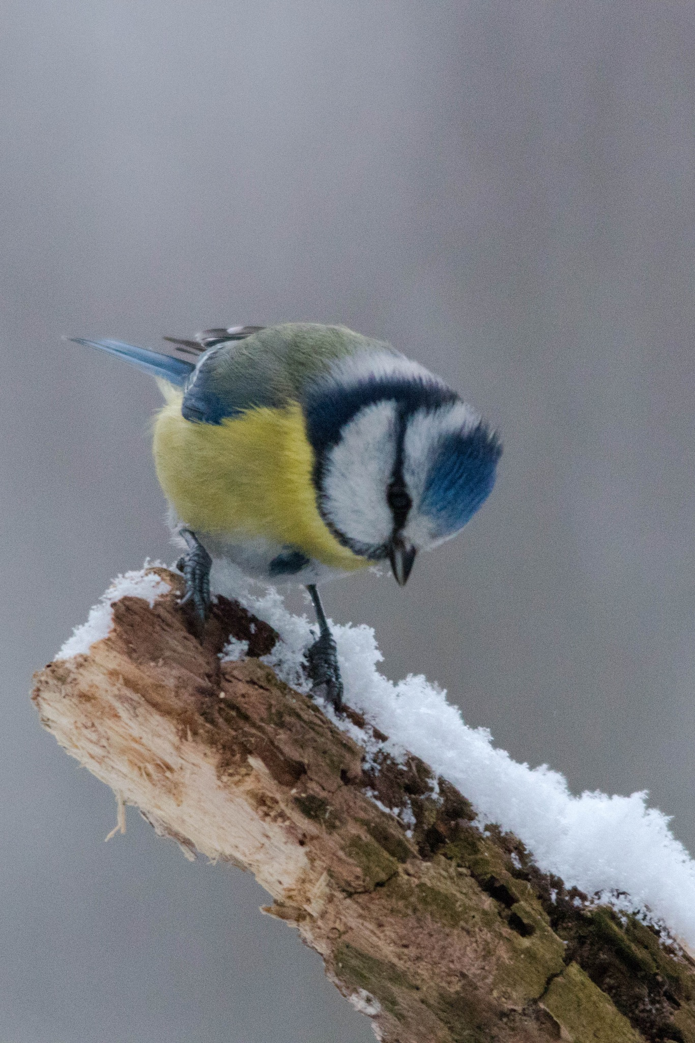 Blue Tit in the snow by Andrea Prestileo
