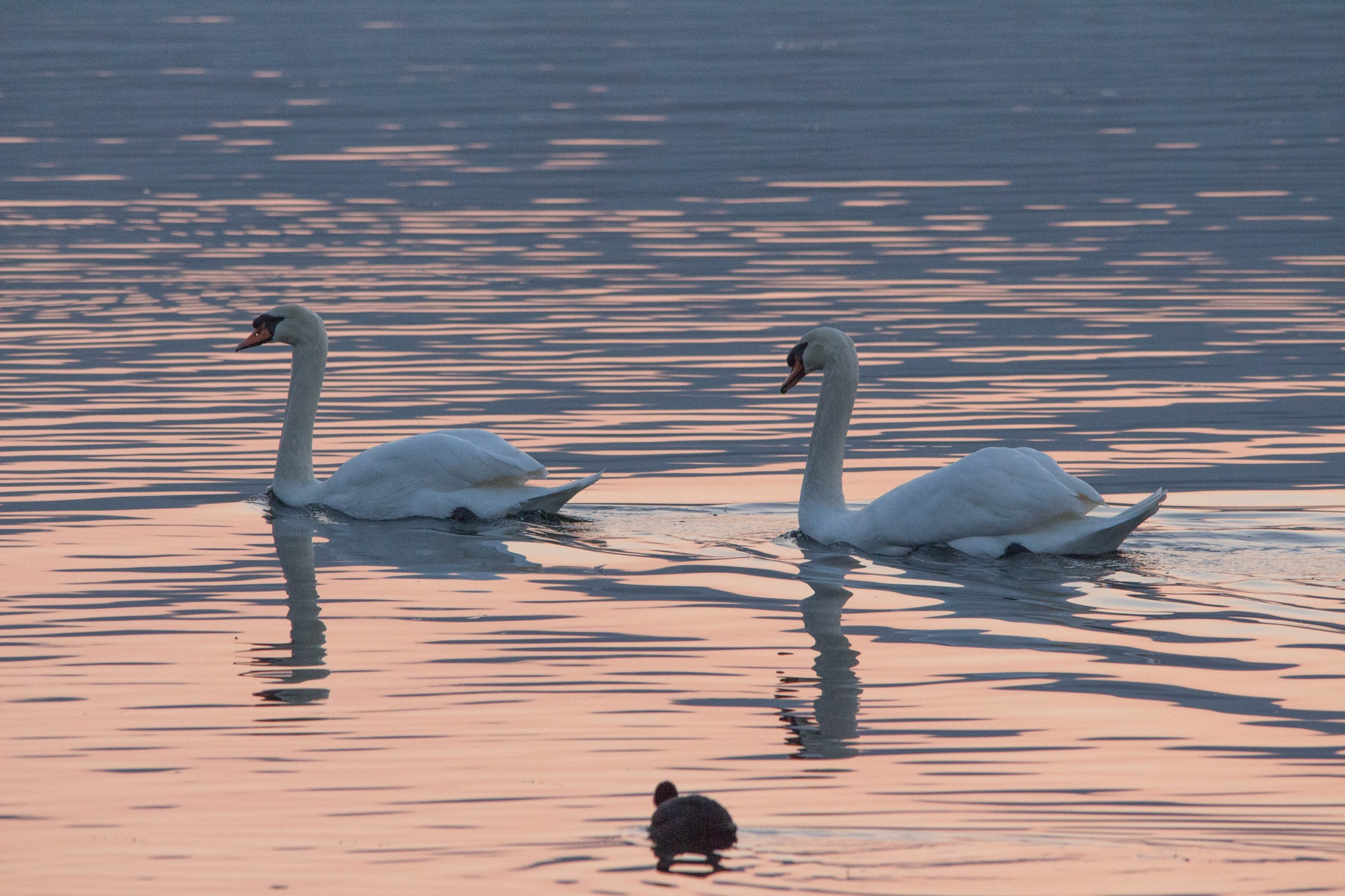 Swans at dusk by Andrea Prestileo