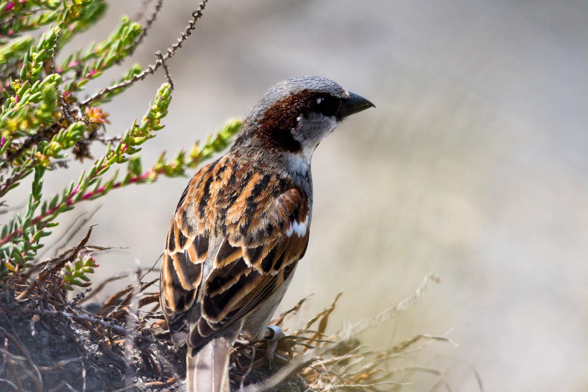 House sparrow (male) by Andrea Prestileo