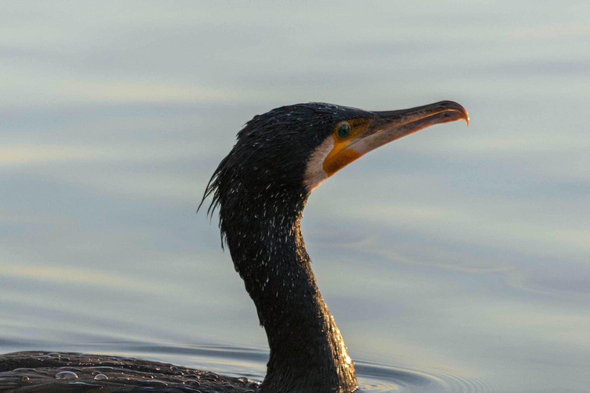 Cormorant by Andrea Prestileo