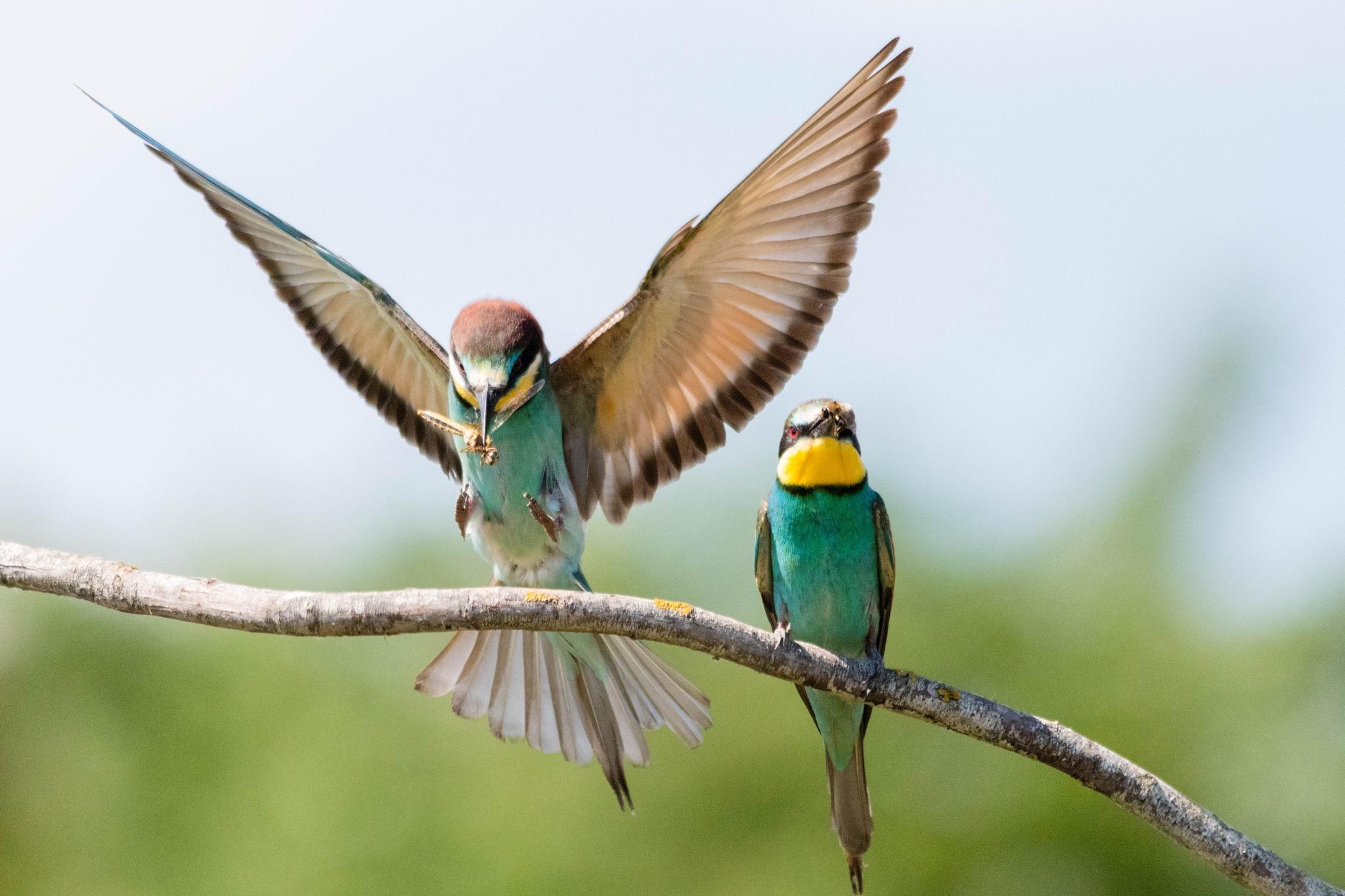 Bee-eaters by Andrea Prestileo