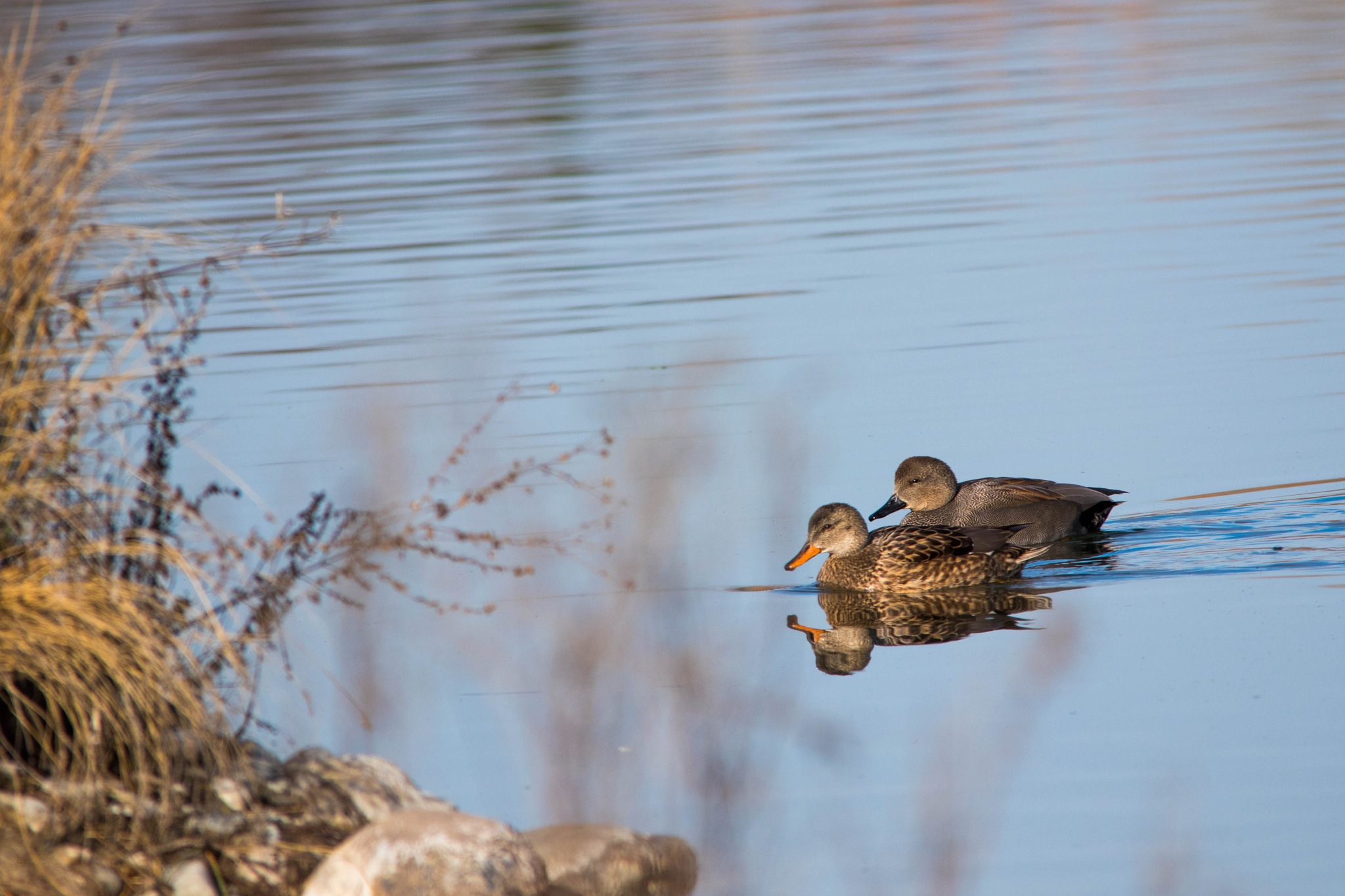 Couple of Gadwalls by Andrea Prestileo