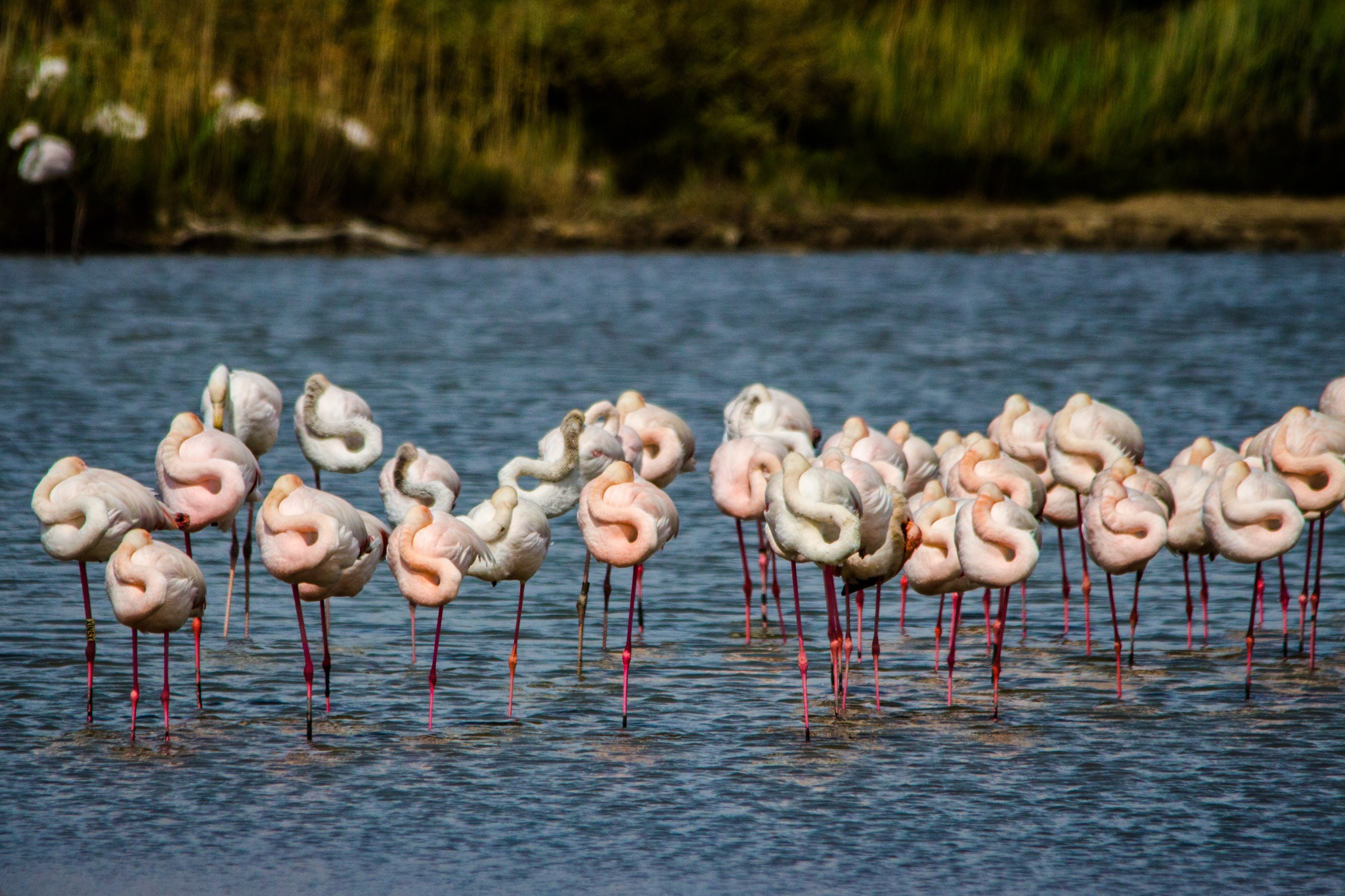 Flamingos at rest by Andrea Prestileo