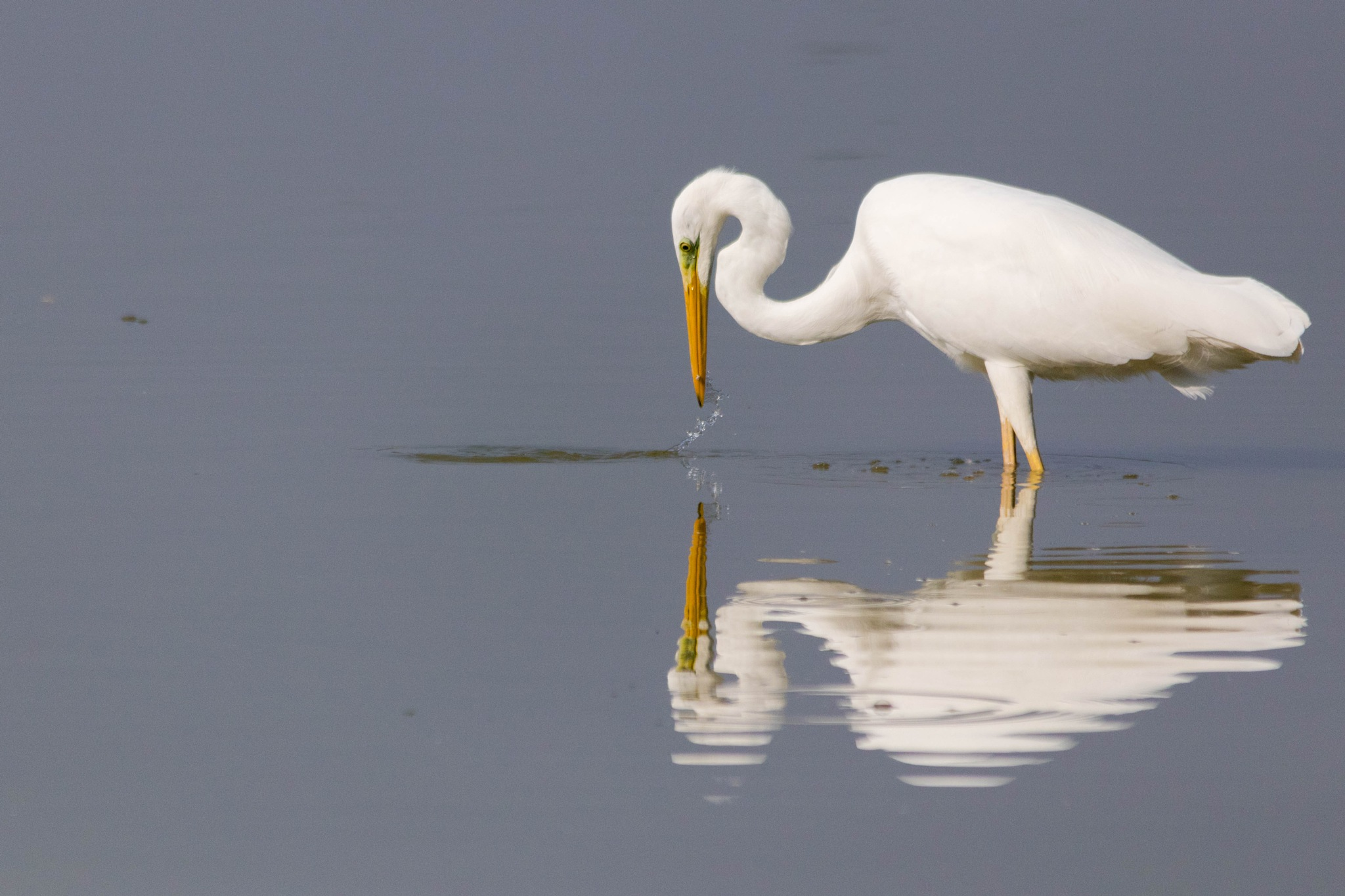 Great egret by Andrea Prestileo
