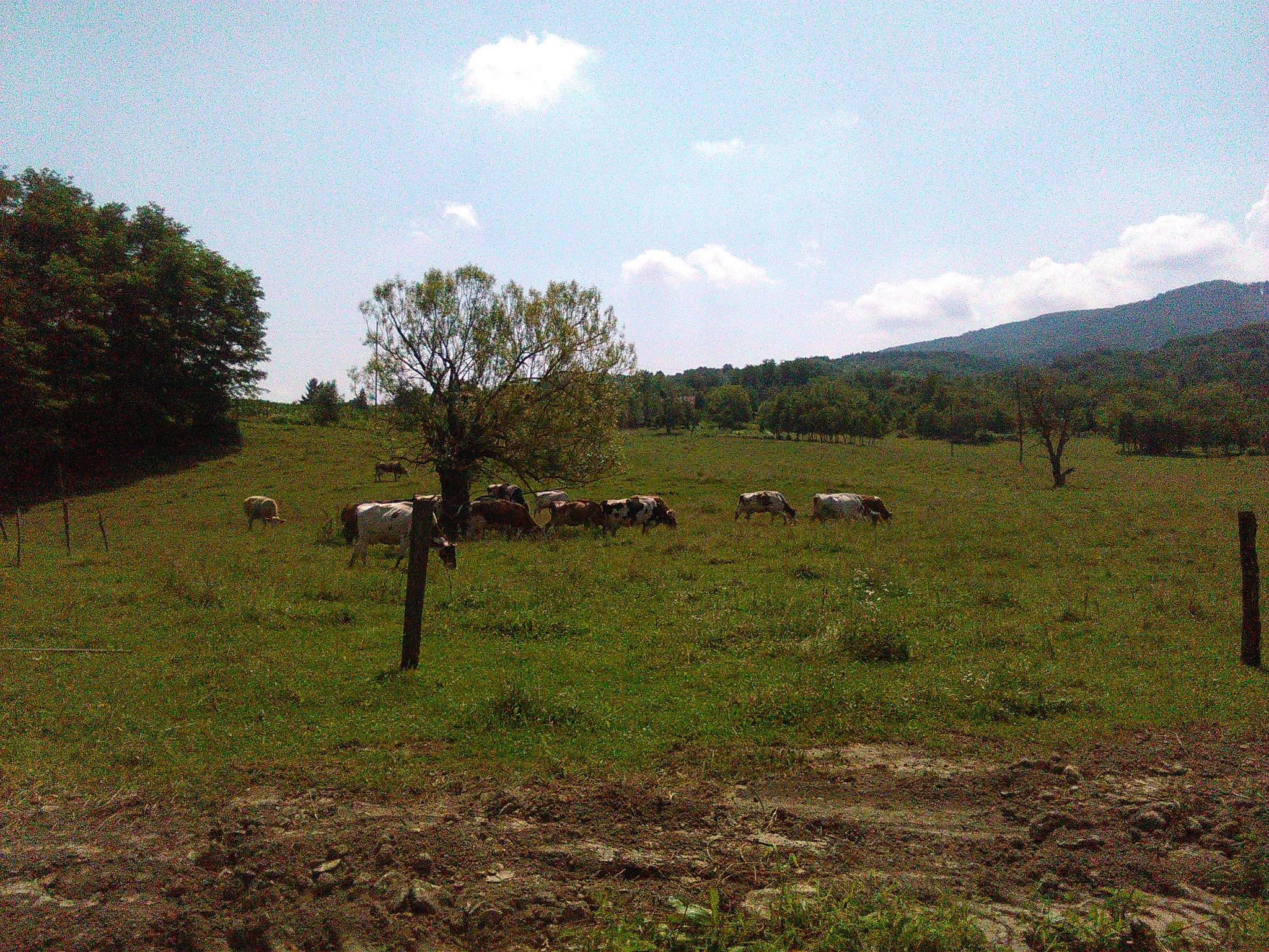 Krave na ispaši by Mary13