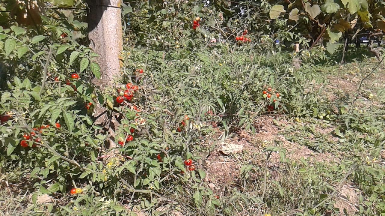 Šeri rajčica...vinograd by Mary13