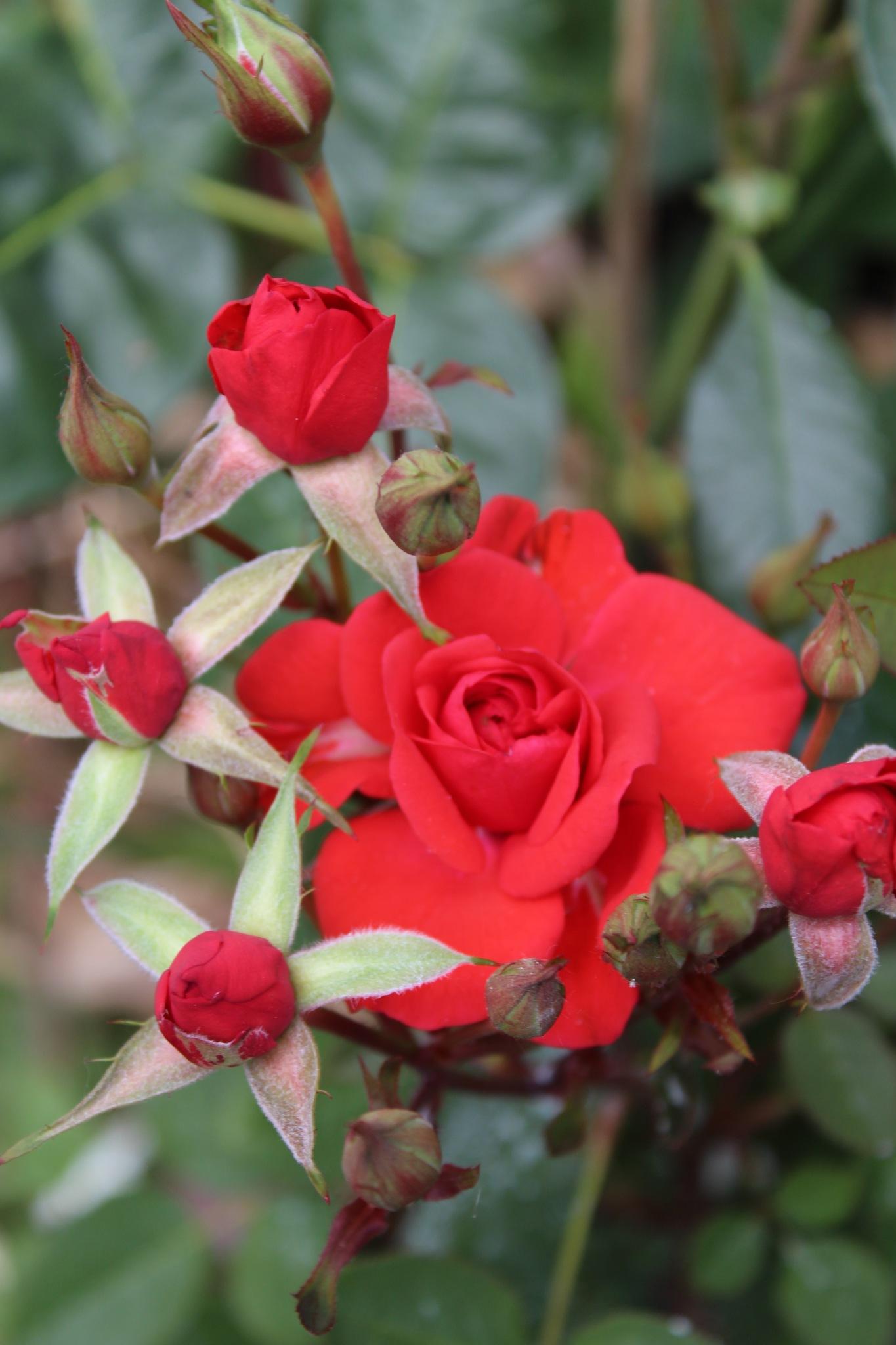 Crvena ruža by Mare