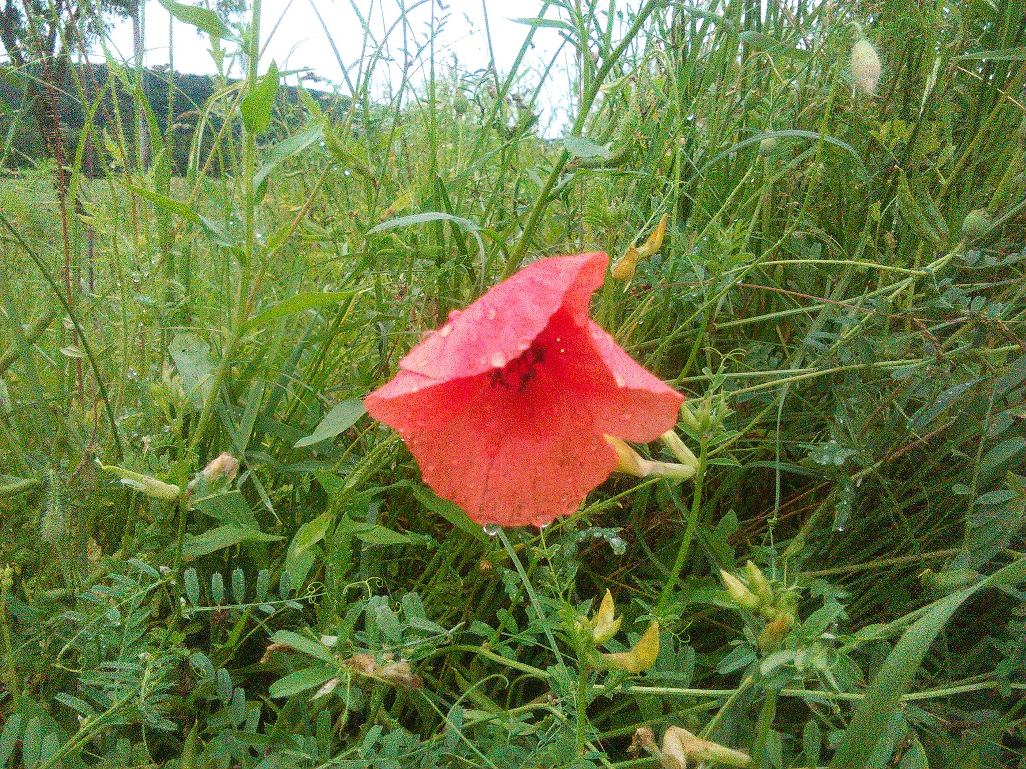 Crveni mak..priroda by Mary13