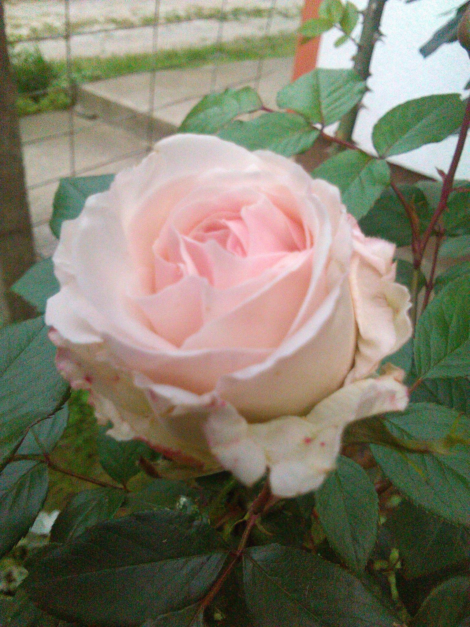 Ruža by Mare