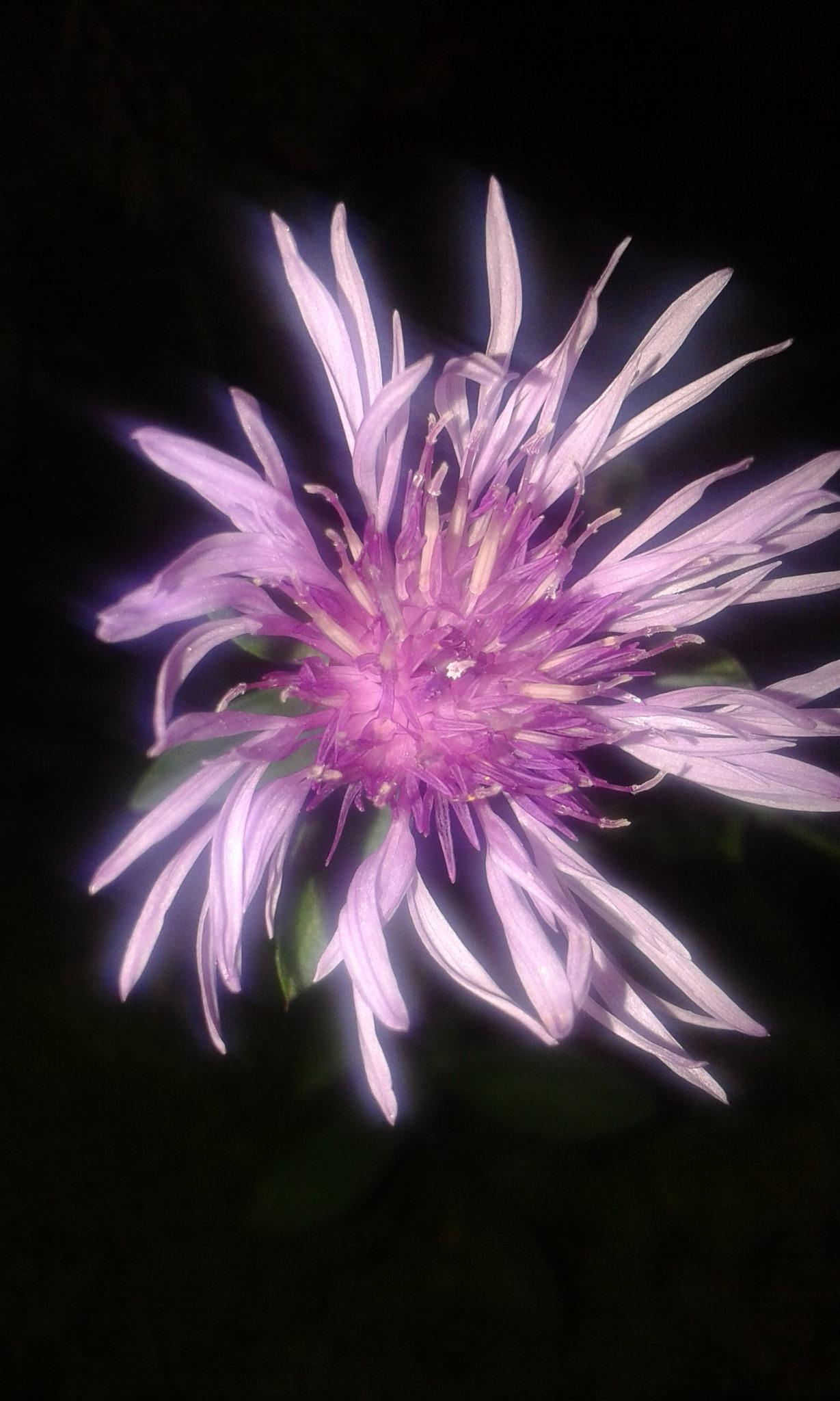 Lila cvijet by Mare