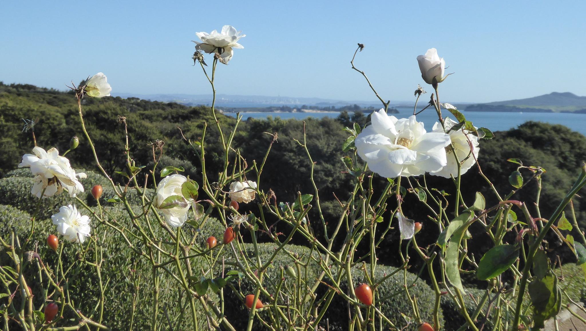 Summer roses by Aroundtheworldin8000days