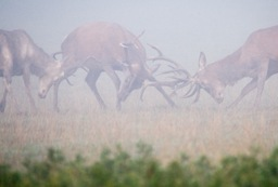 Rutting Deer in the mist by photojournal59 Peter Bull