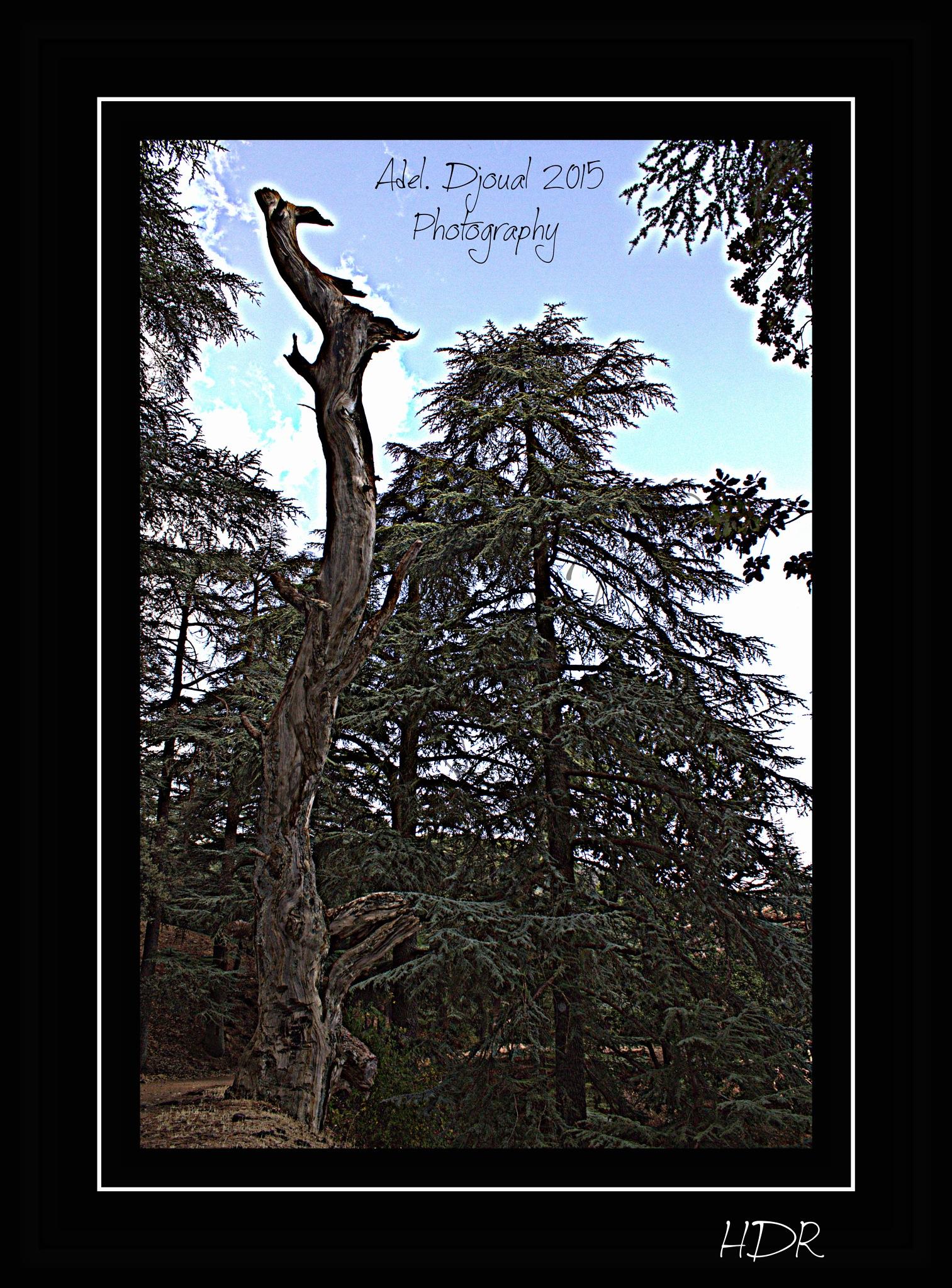 Cedar Tree. Parc national de Theniet El Had. Algeria by Adel Djoual