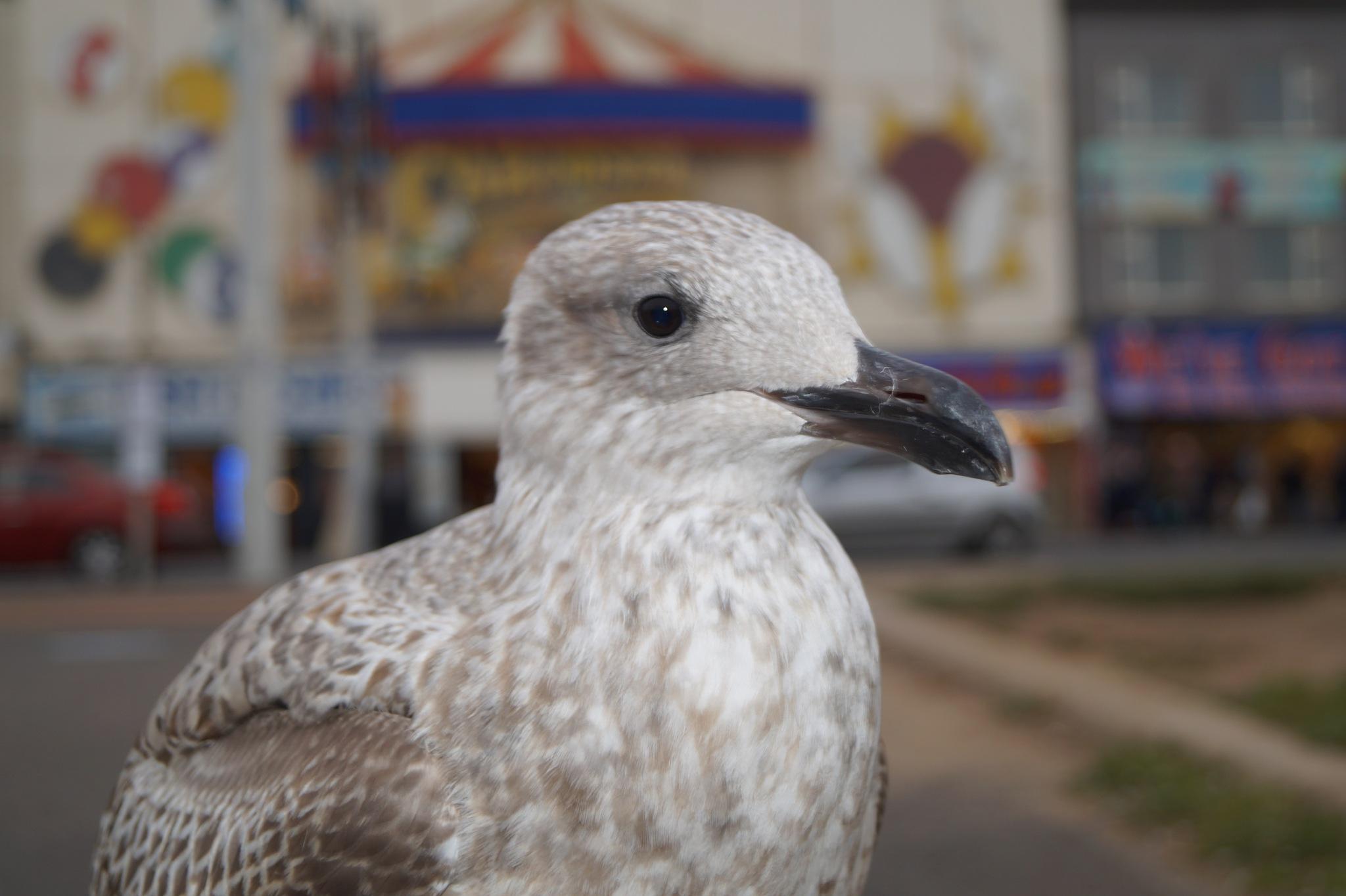 Tame seagull  by tripplexxx05