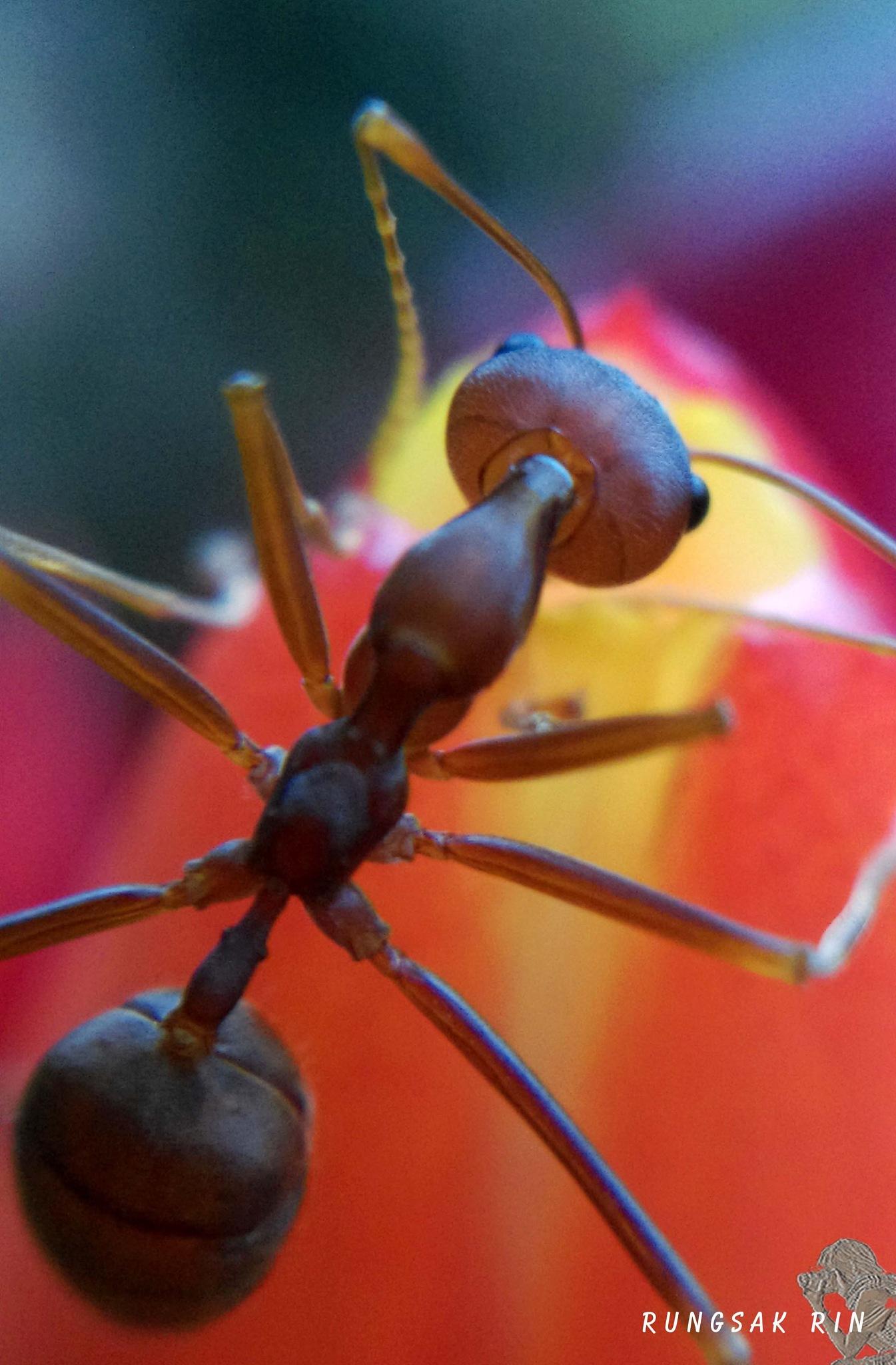 Ant by Rungsak Rintharasri