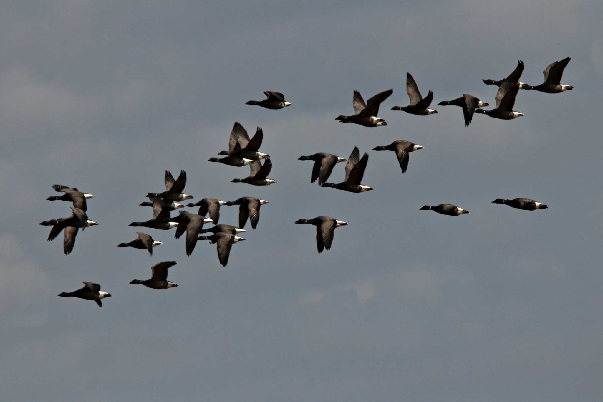 Brent Geese by Rich66