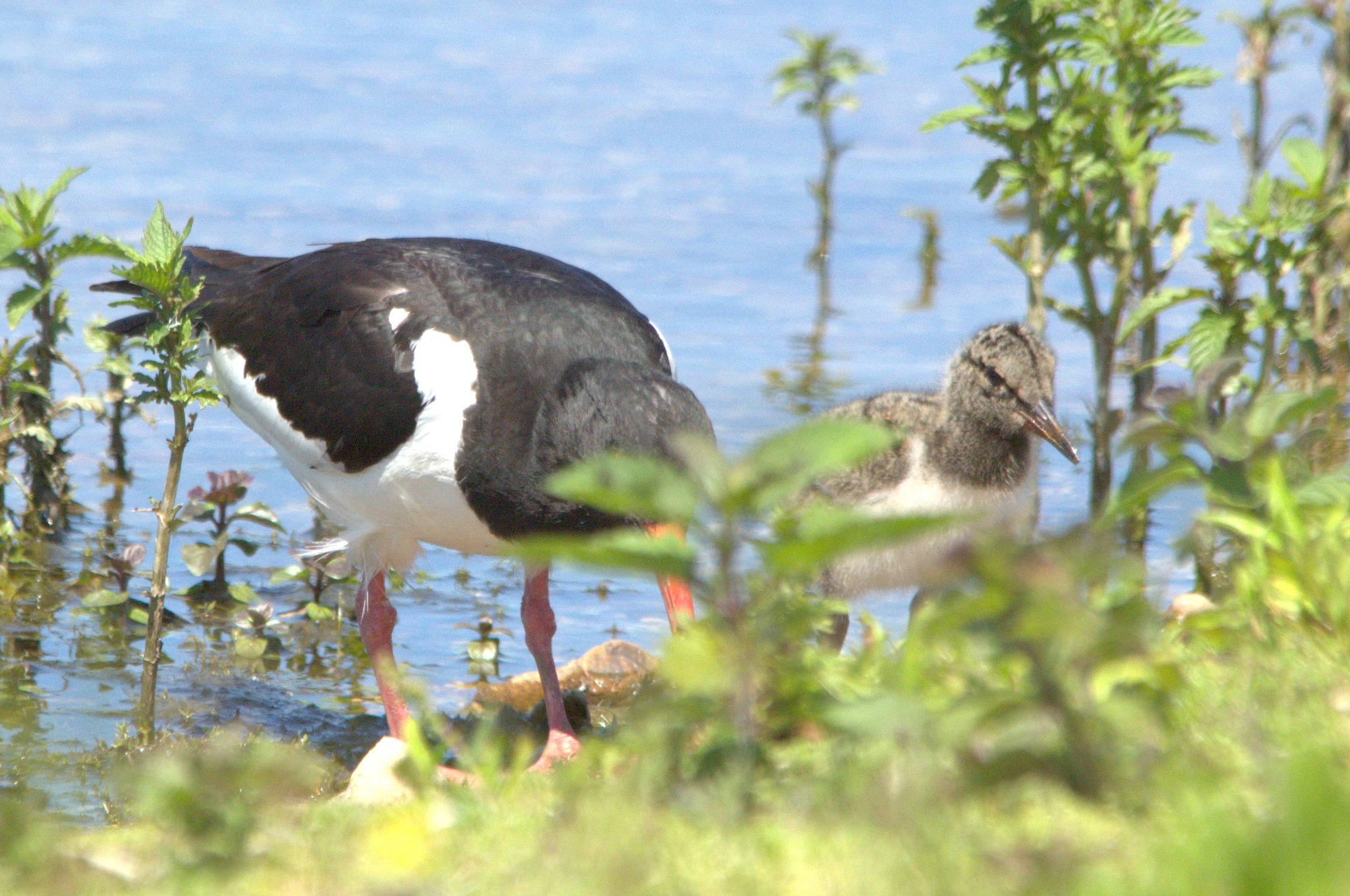 Oystercatcher with Chick by Rich66