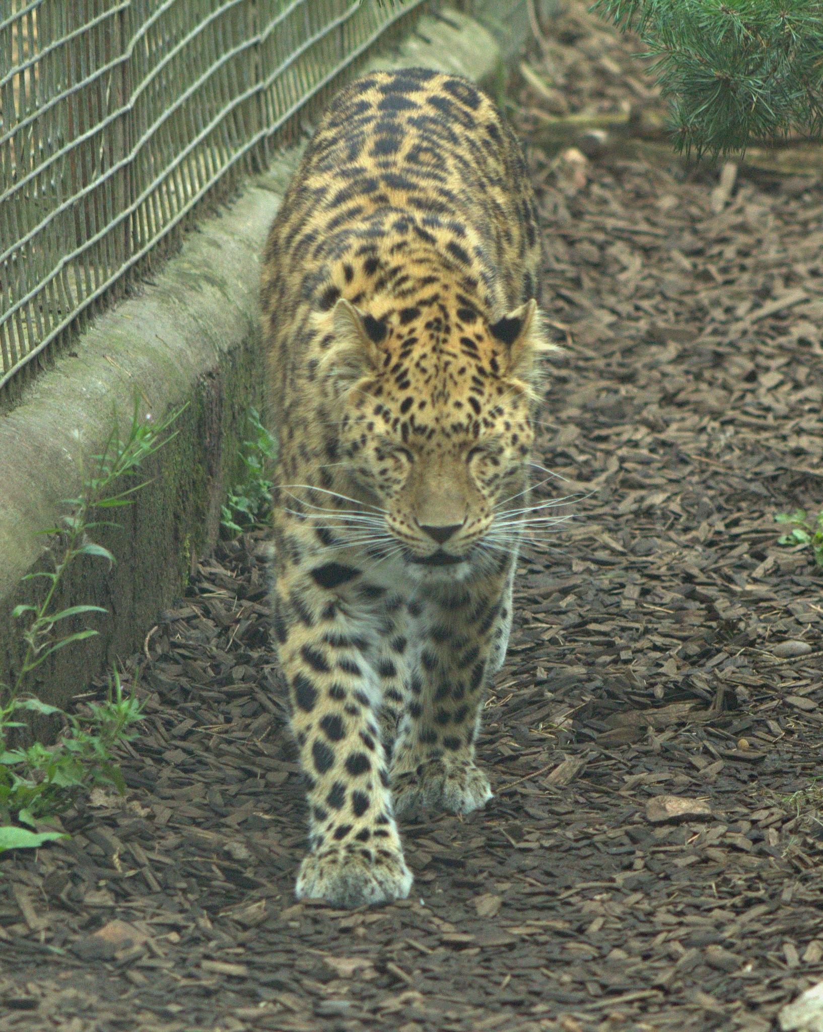 Leopard by Rich66