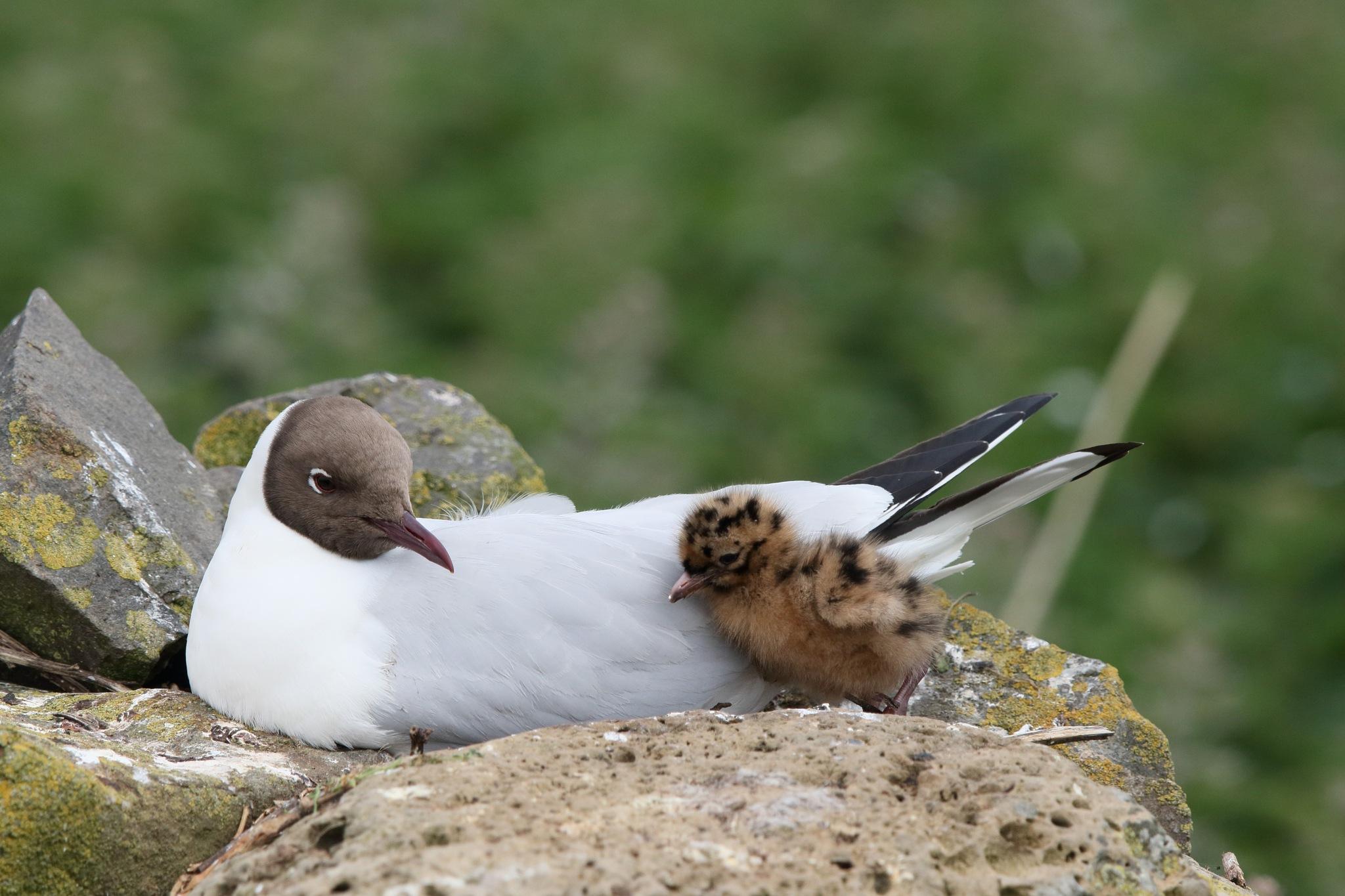 Black Headed Gull by Rich66