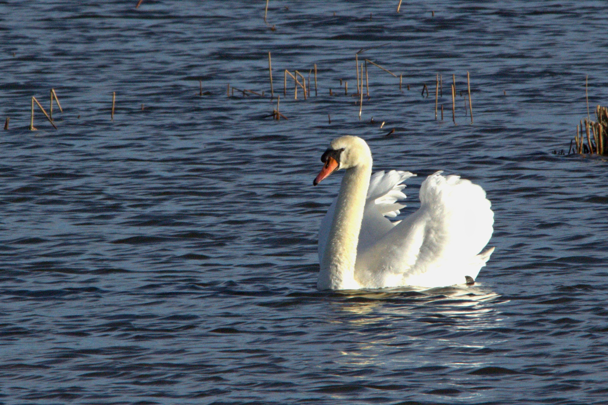 Swan by Rich66