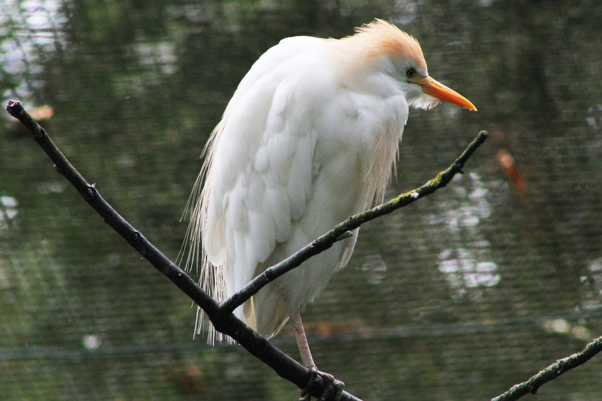Cattle Egret by Rich66