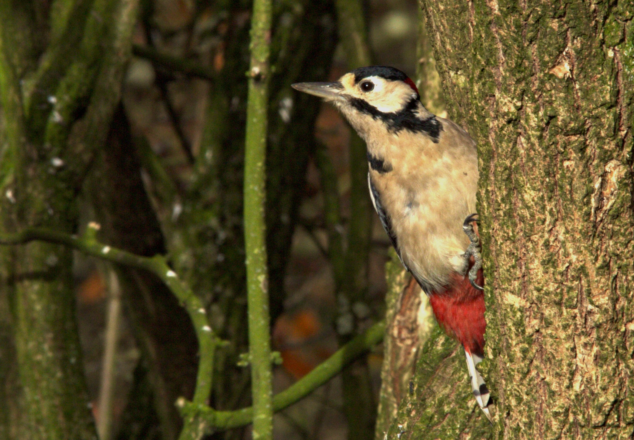 Greater Spotted Woodpecker by Rich66