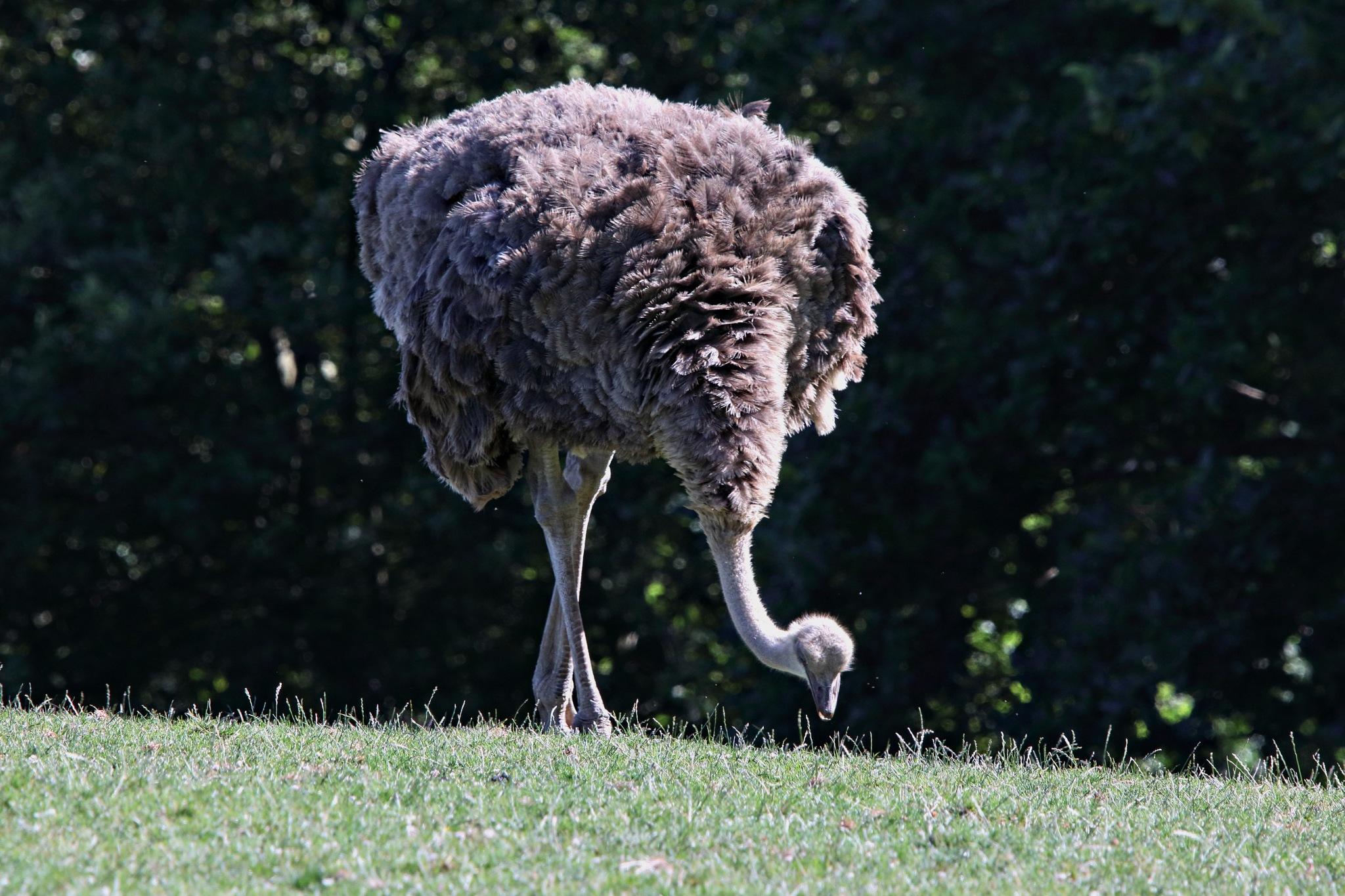 Ostrich by Rich66