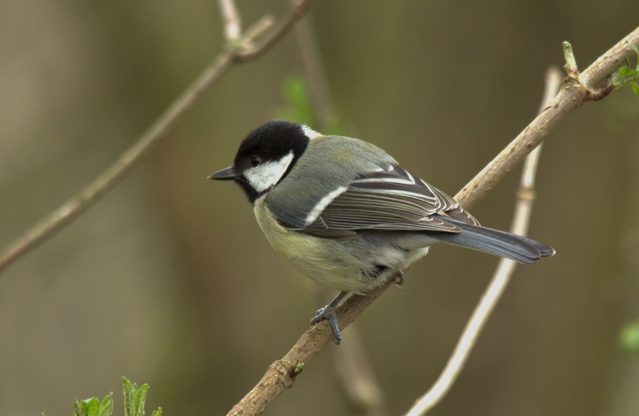 Great Tit by Rich66