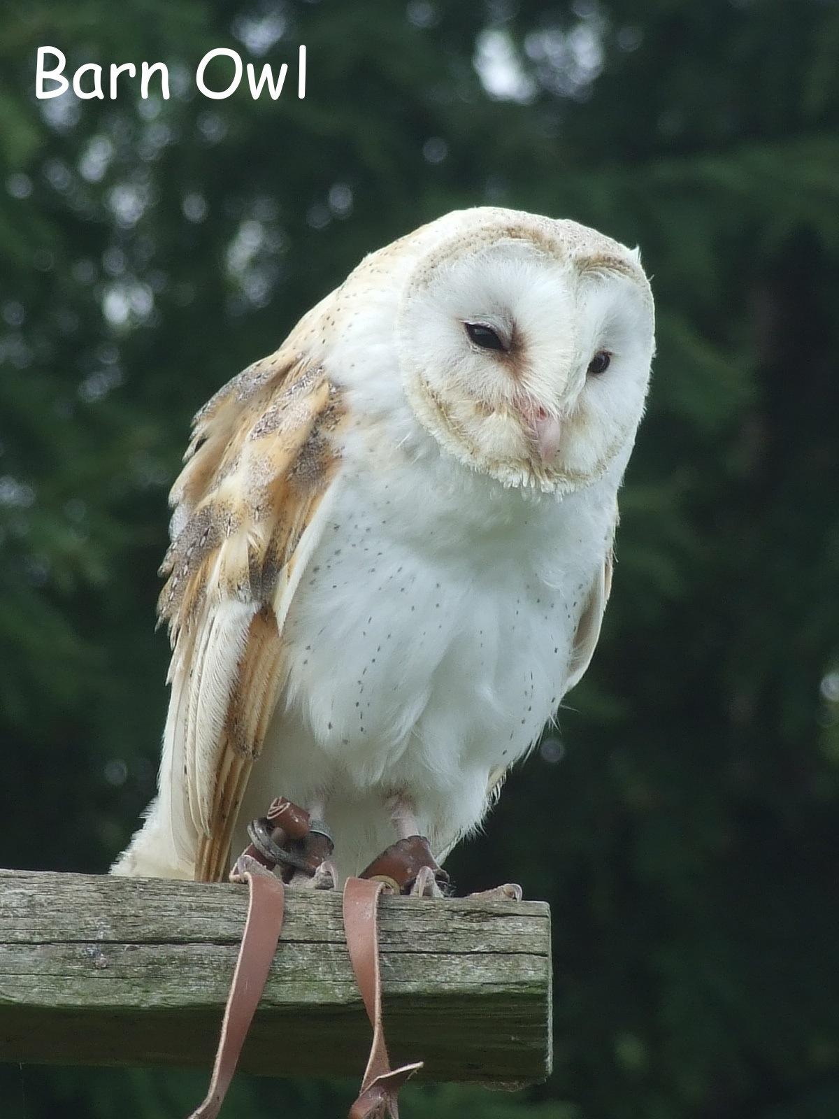 Barn Owl by Rich66
